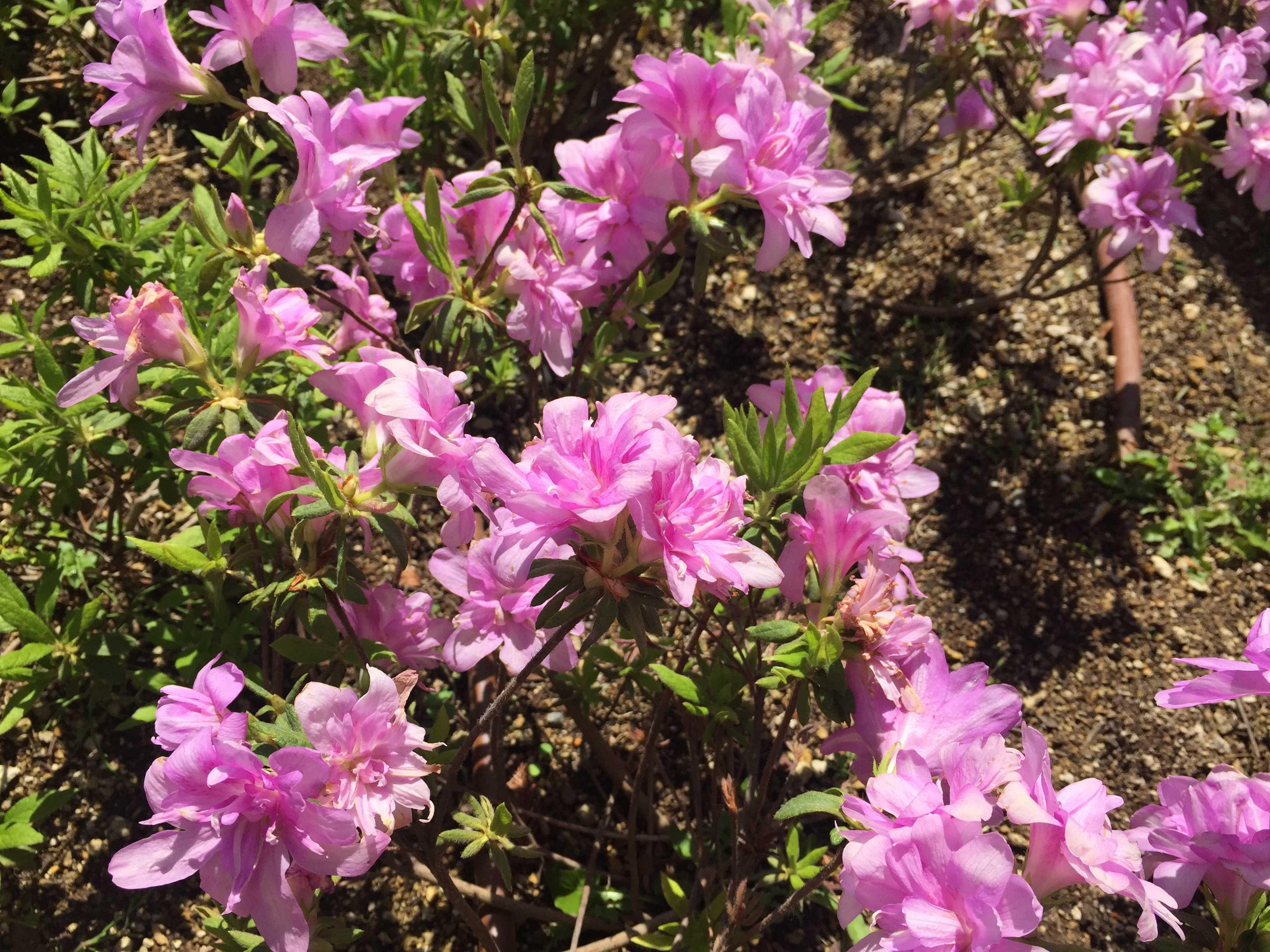 ツツジ「藤万葉」の万葉咲き