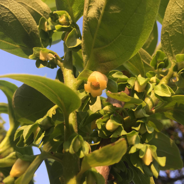 禅寺丸柿の柿の花