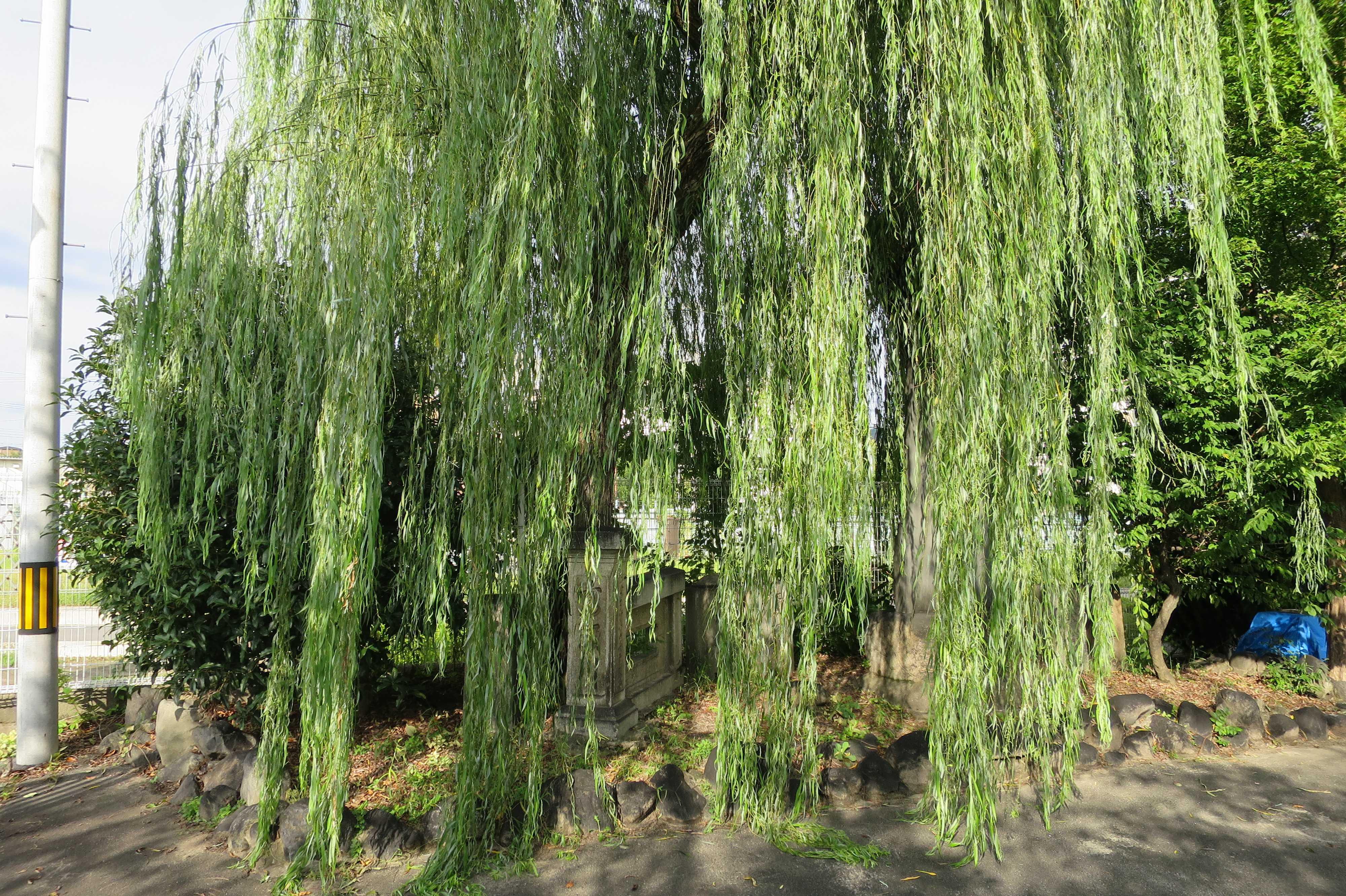 京都・崇仁地区 - 柳原銀行記念資料館の柳の木
