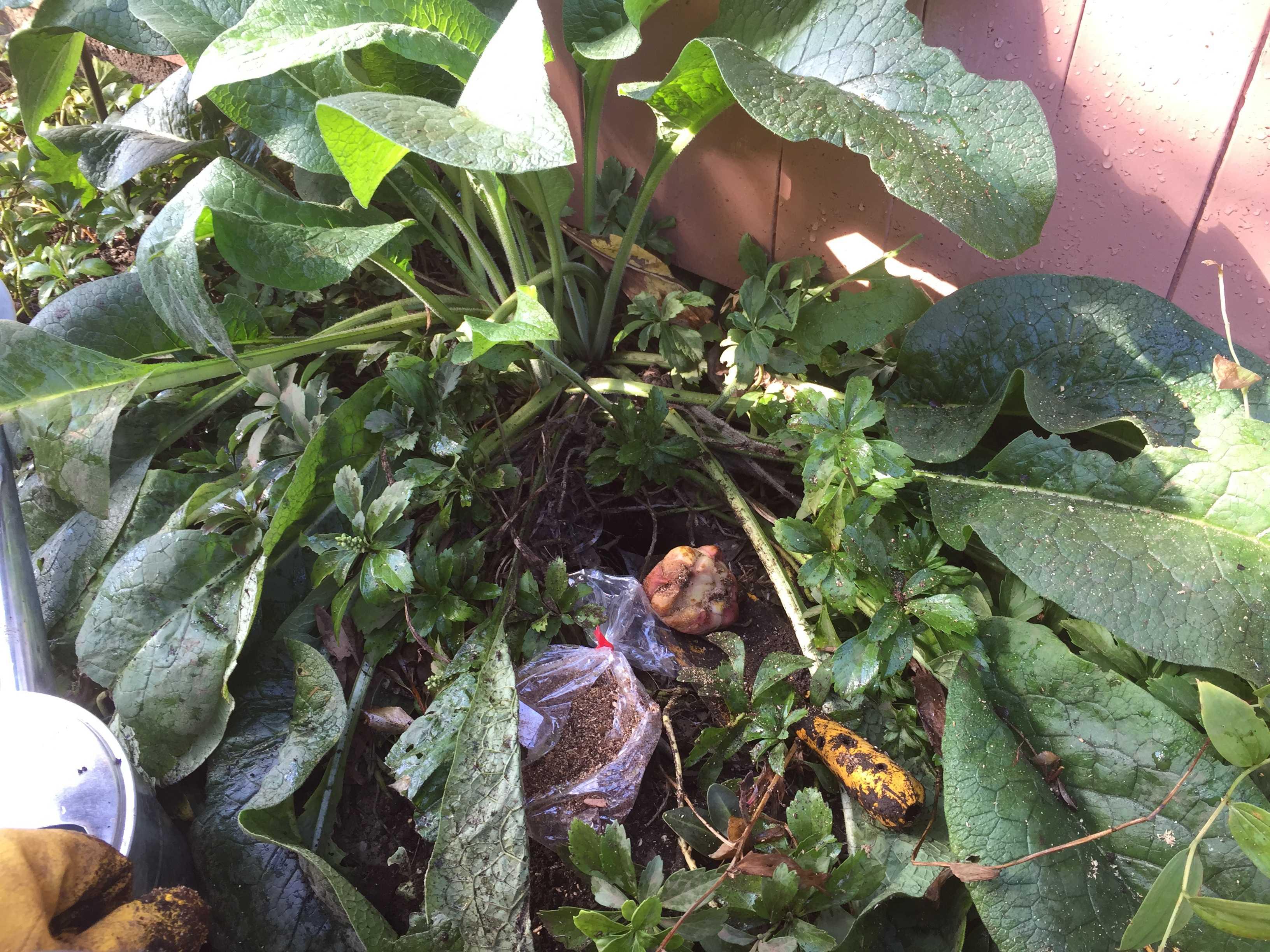 山百合の球根の植え付け
