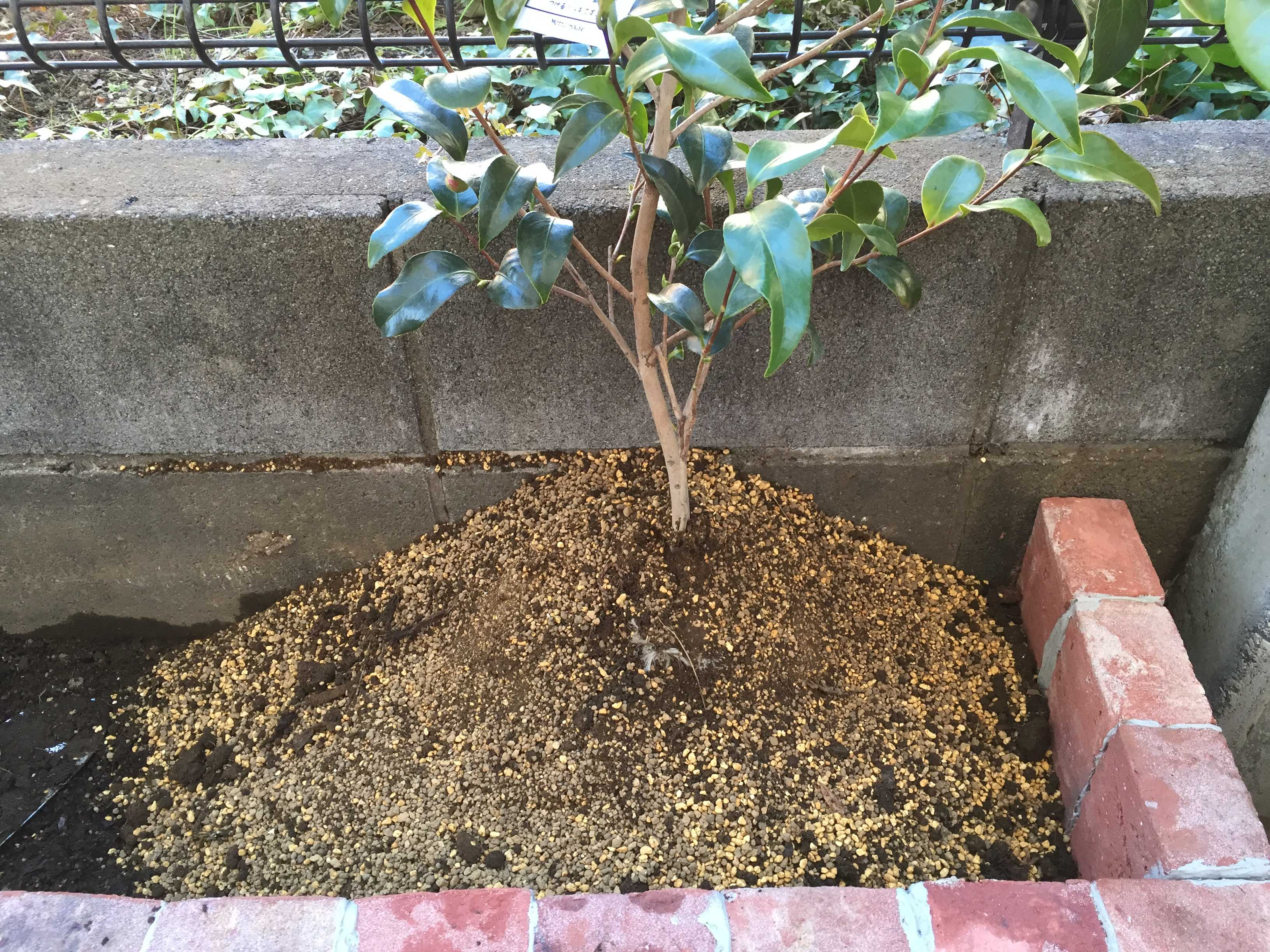 ヤブツバキ「玉之浦」の植え付け