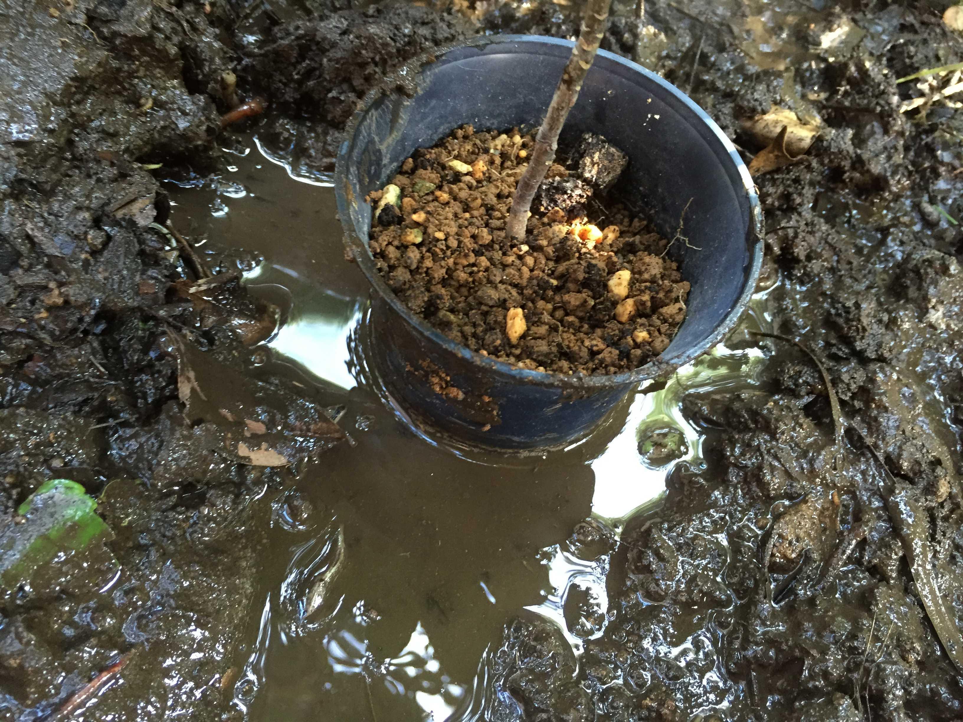 爪斑万両(マンリョウ)の植え付け - 植え穴