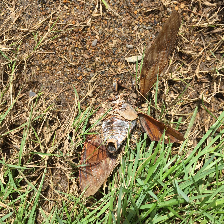 蝉(セミ)の死骸