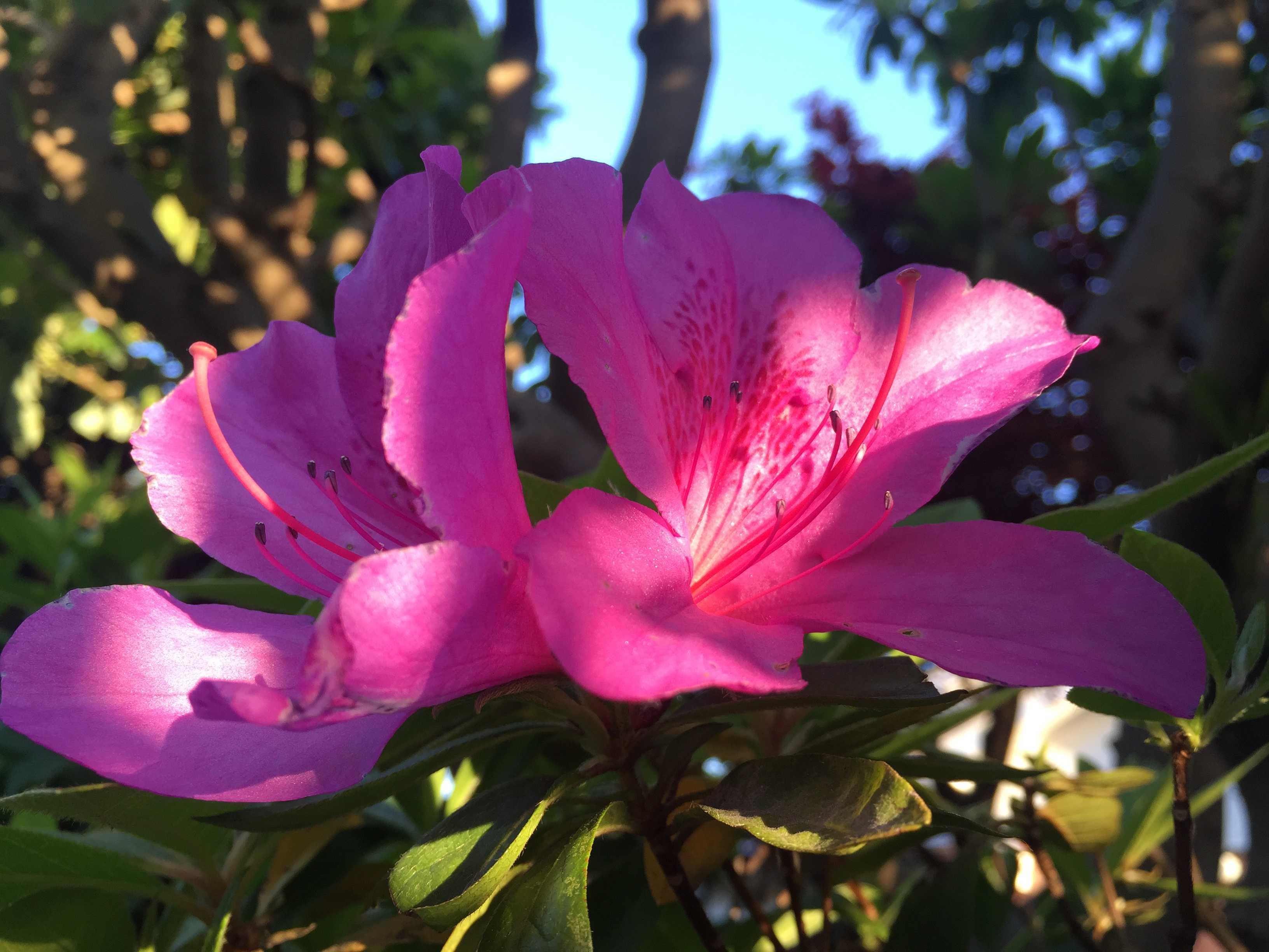 蜜標が美しいピンクのツツジ
