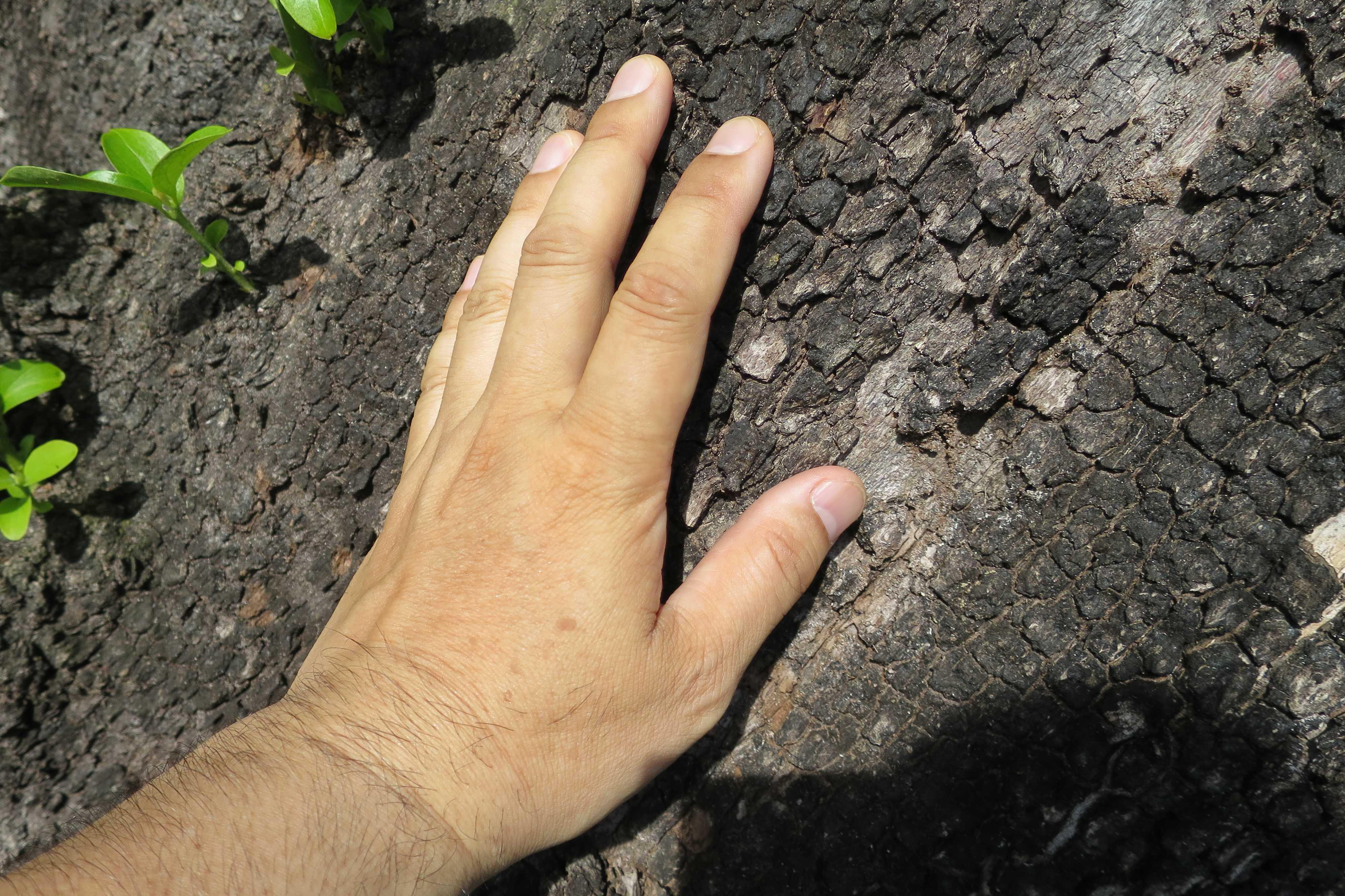 岡上の禅寺丸柿の樹皮