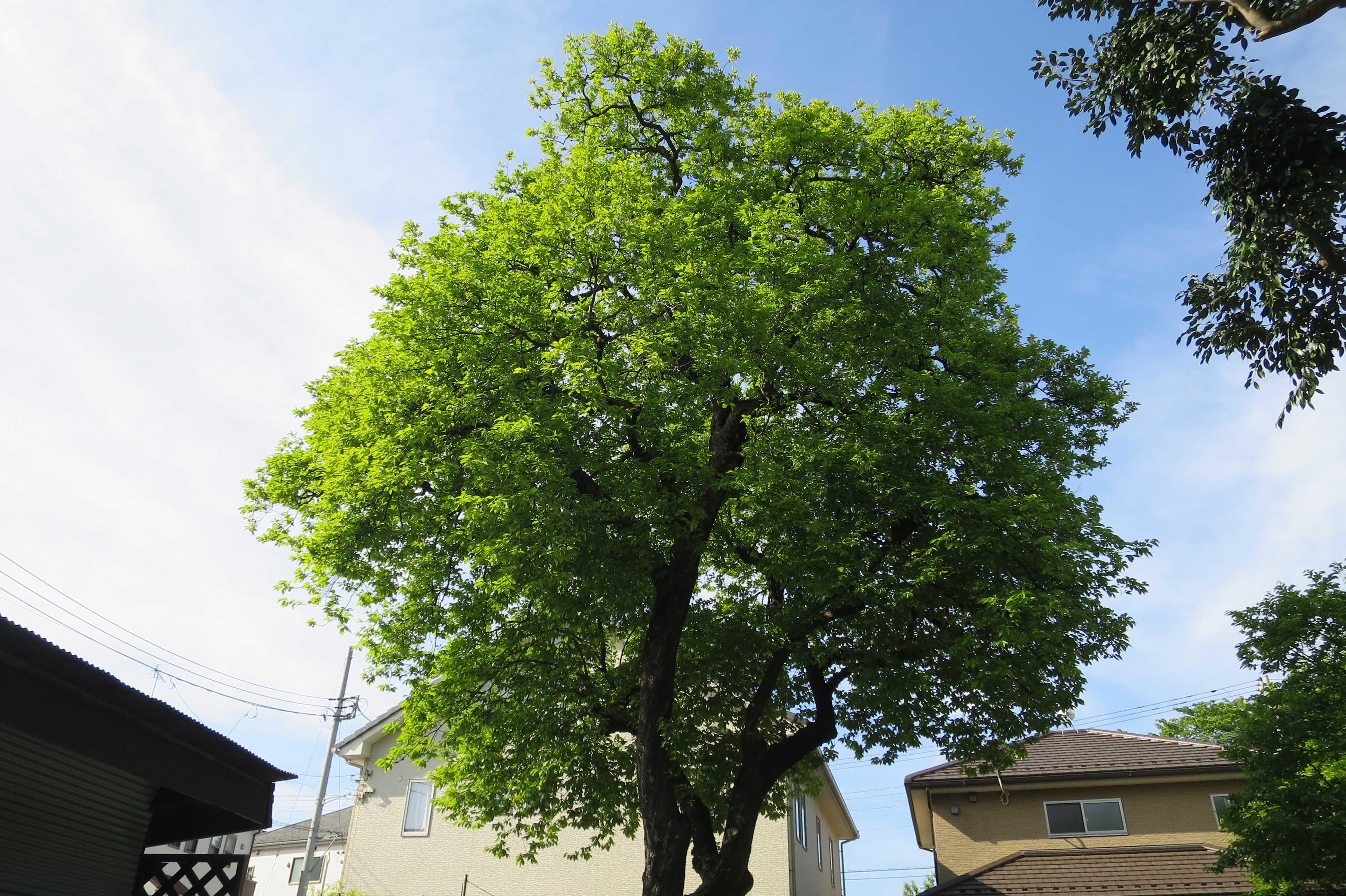 岡上の禅寺丸柿の樹冠