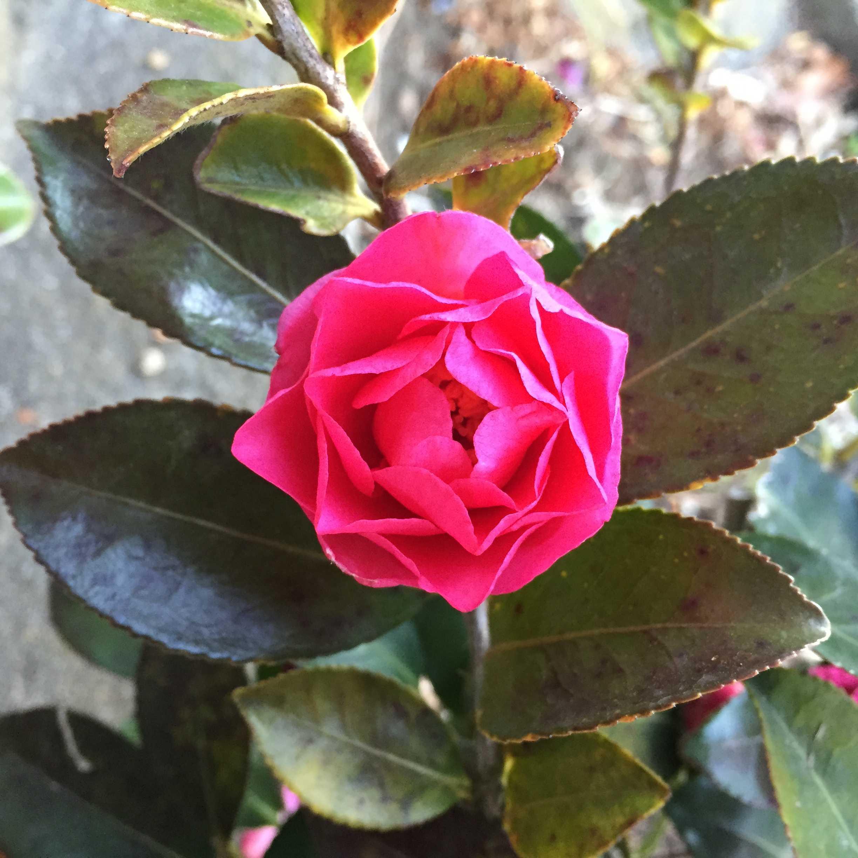 サザンカ・這い寒椿の開花