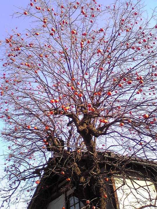 初冬の柿の木 春日居果実温泉郷のオレンジ色の秋