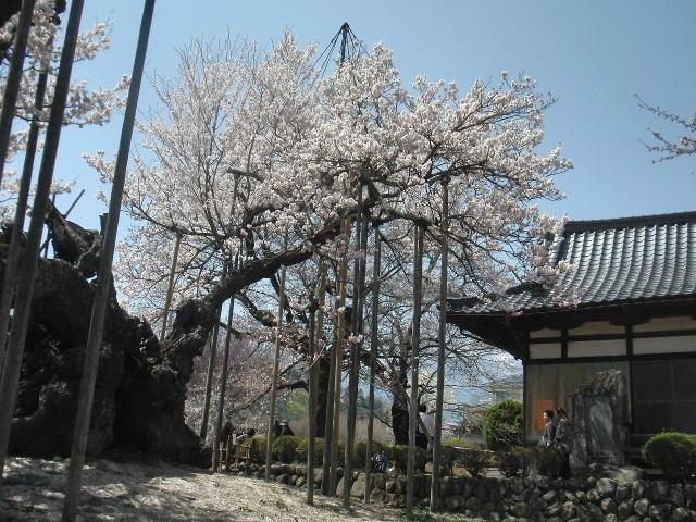 山高神代桜のさくらの花