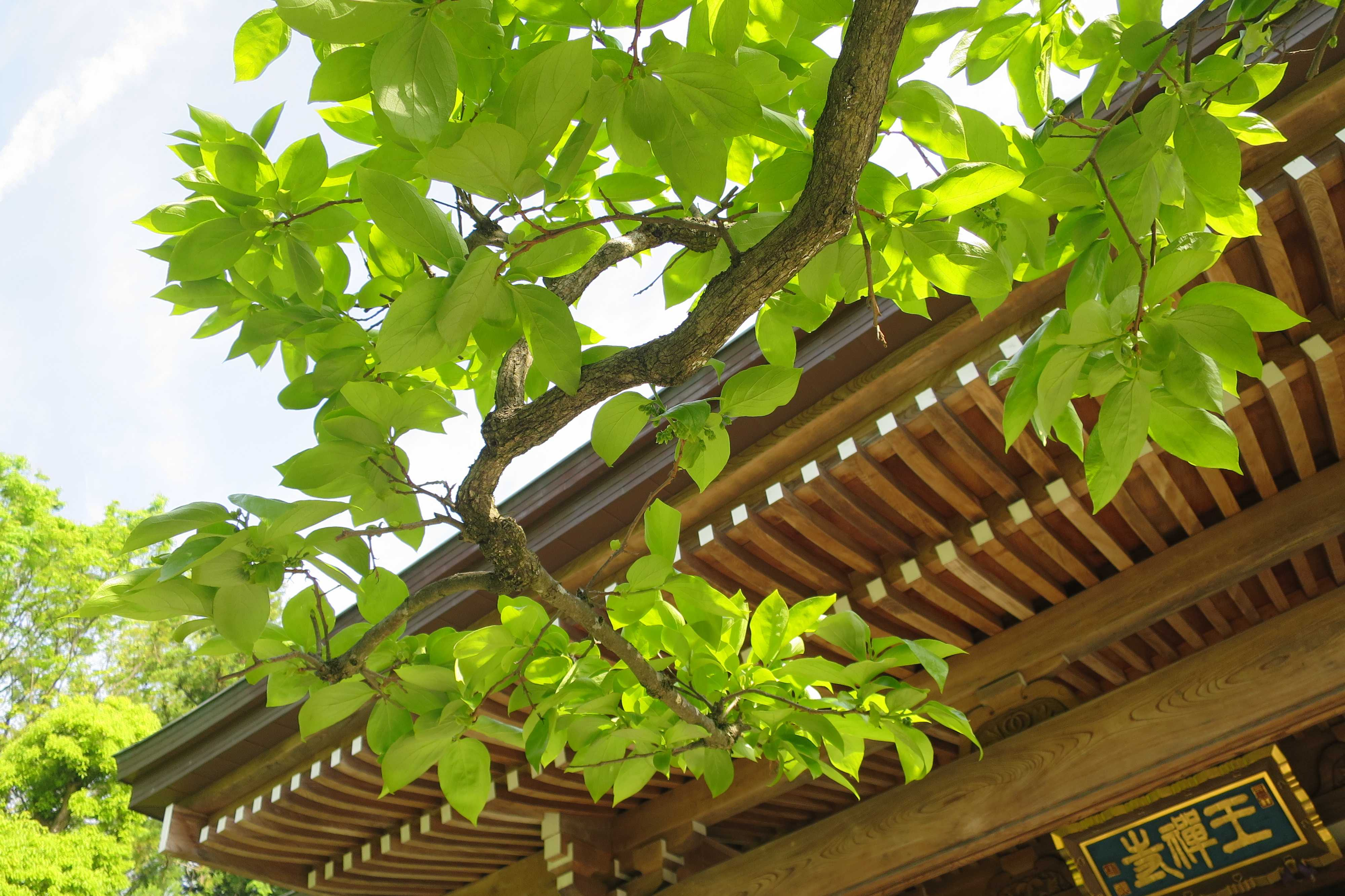 日本最古の甘柿 - 禅寺丸柿(ぜんじまるがき)の原木