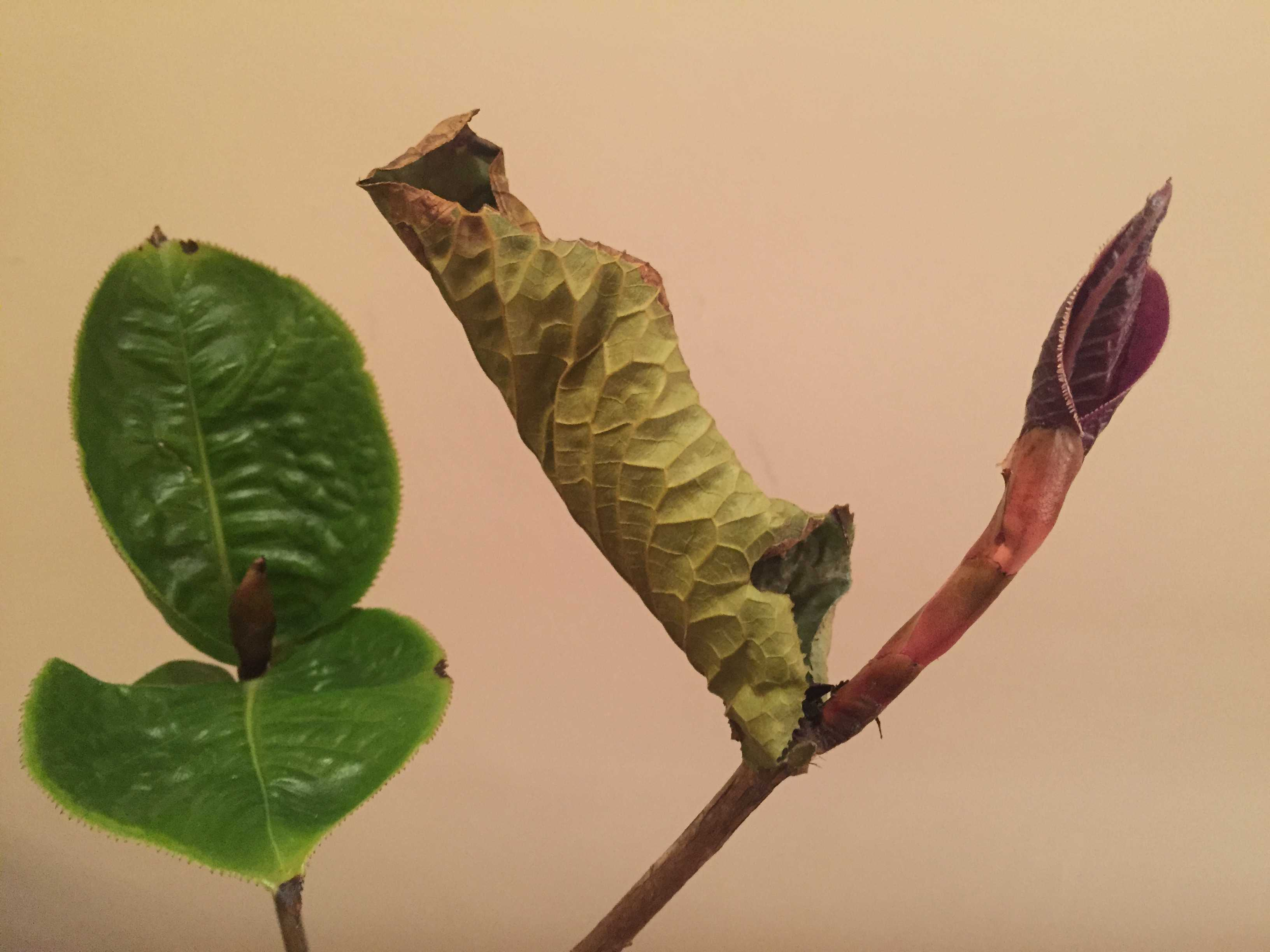ムラウチイの葉っぱ
