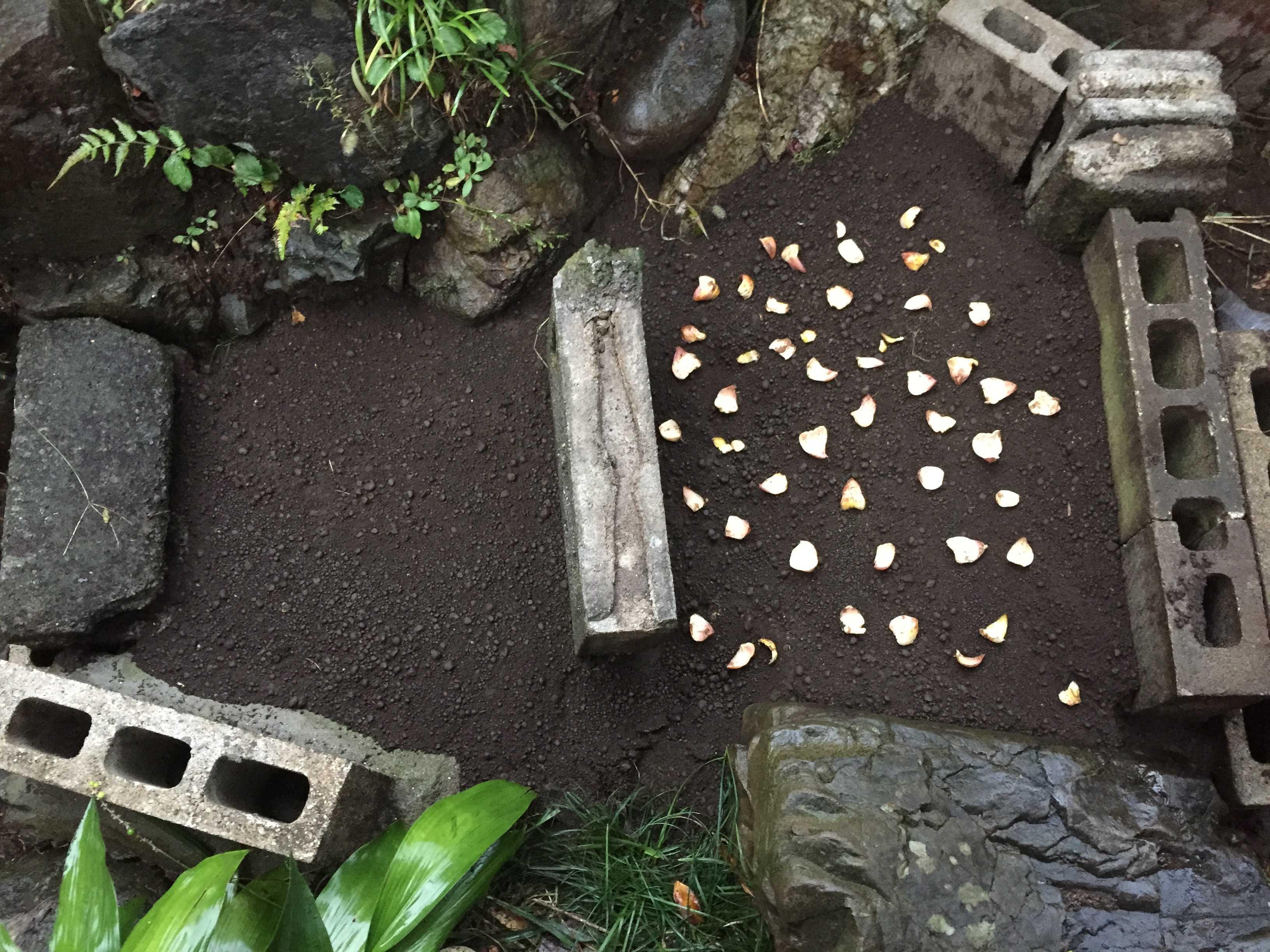 ヤマユリの鱗片定植 - 鱗片のばらまき完了