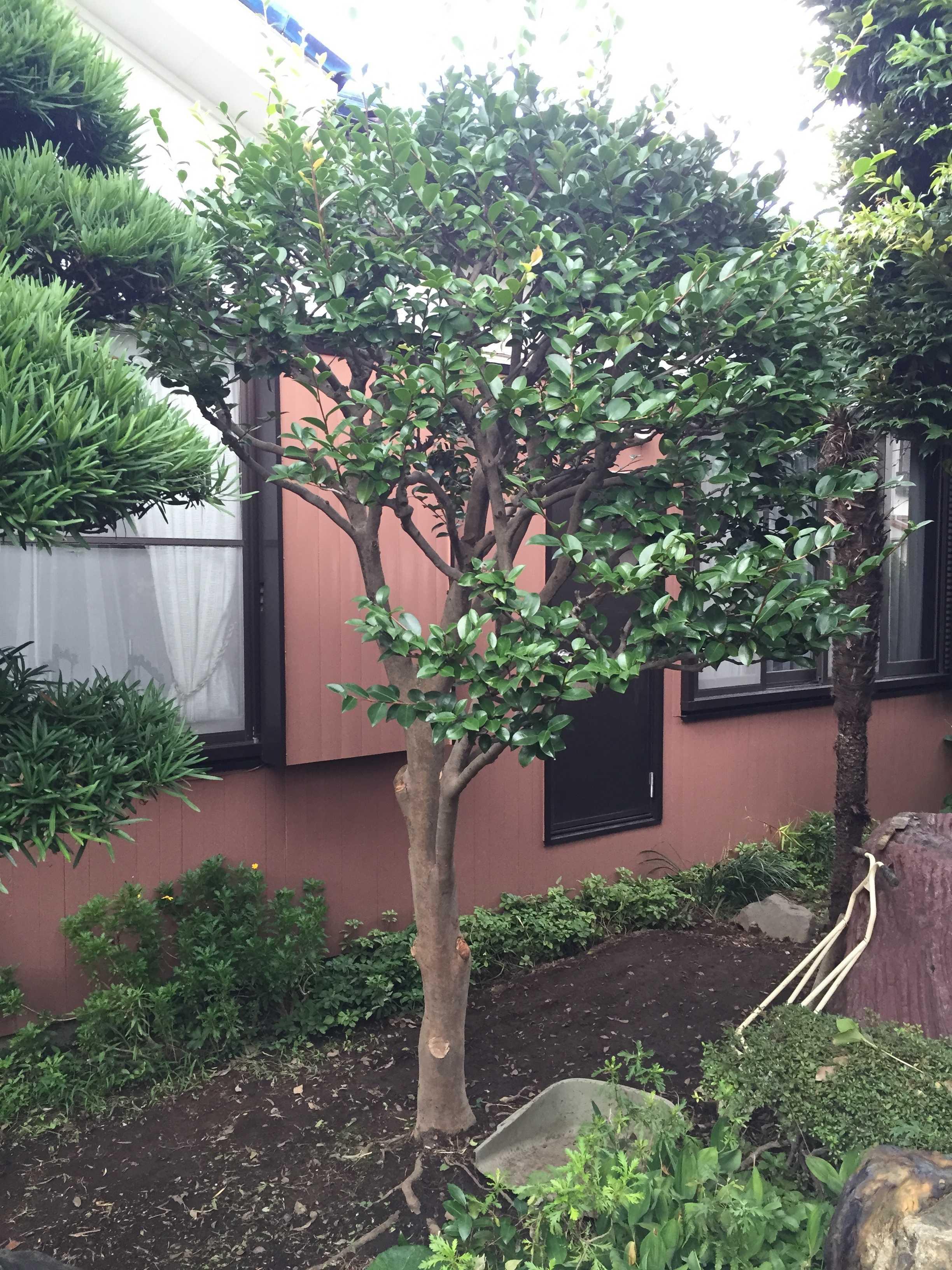 伐採した椿(ツバキ)の木