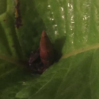 ツバキの原種「ムラウチィ」