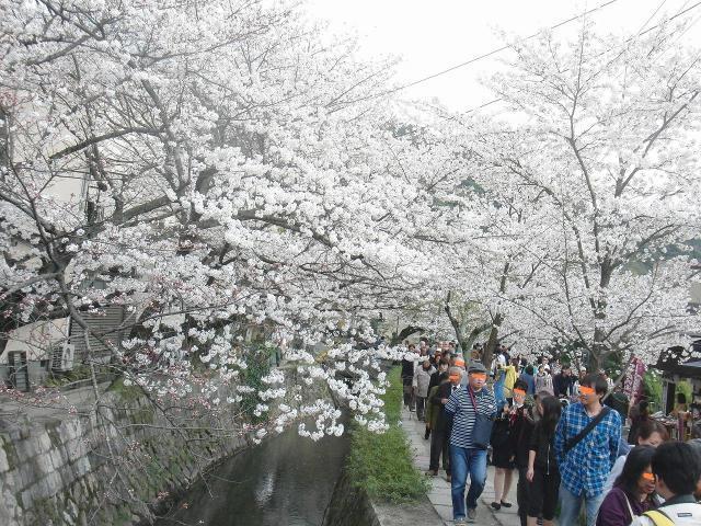 桜満開の哲学の道