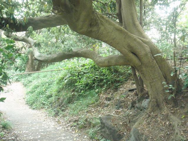 真鶴岬の木々