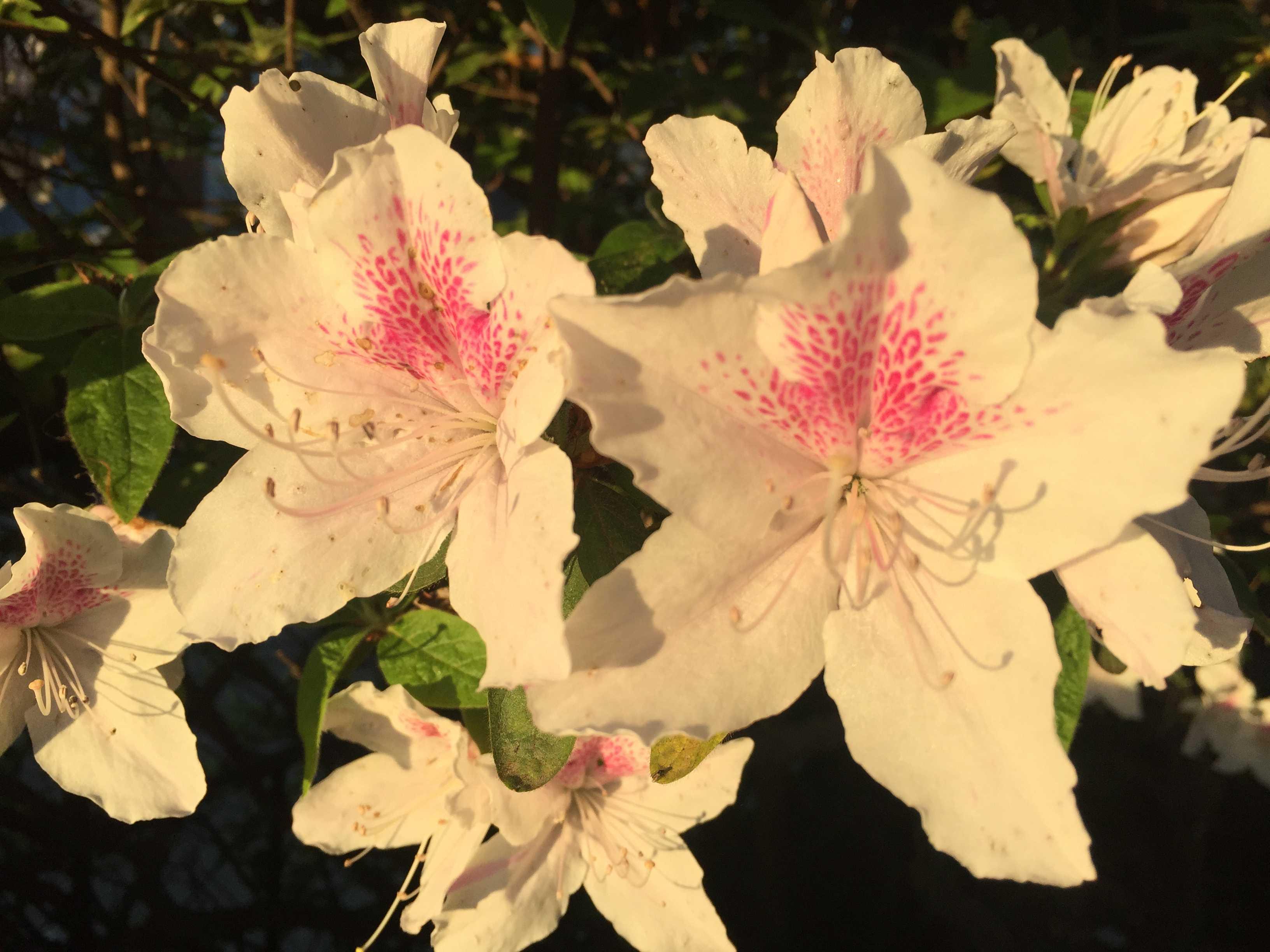 白いツツジのピンクの蜜標(ガイドマーク)