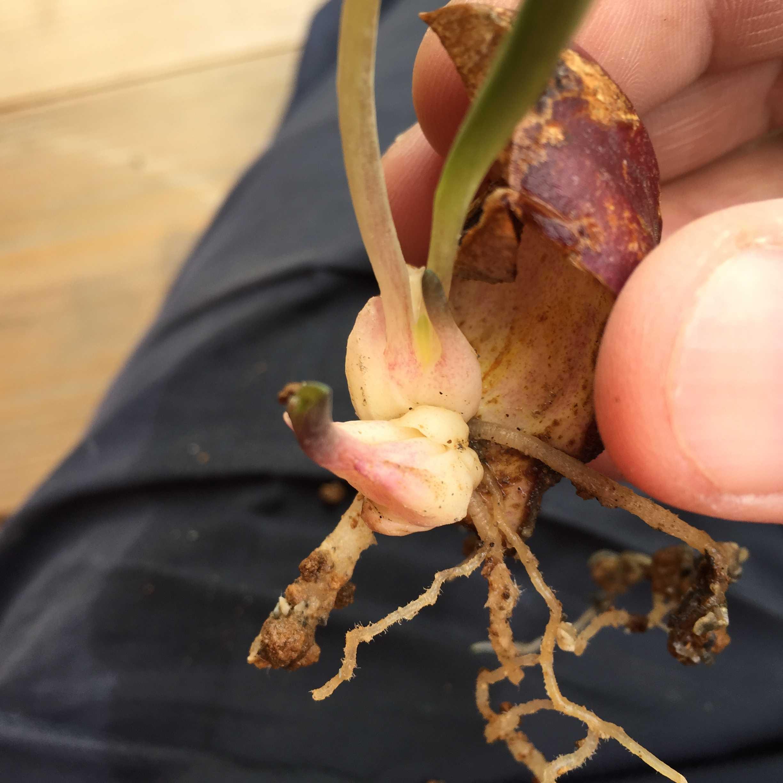 鱗片挿しでのヤマユリの芽