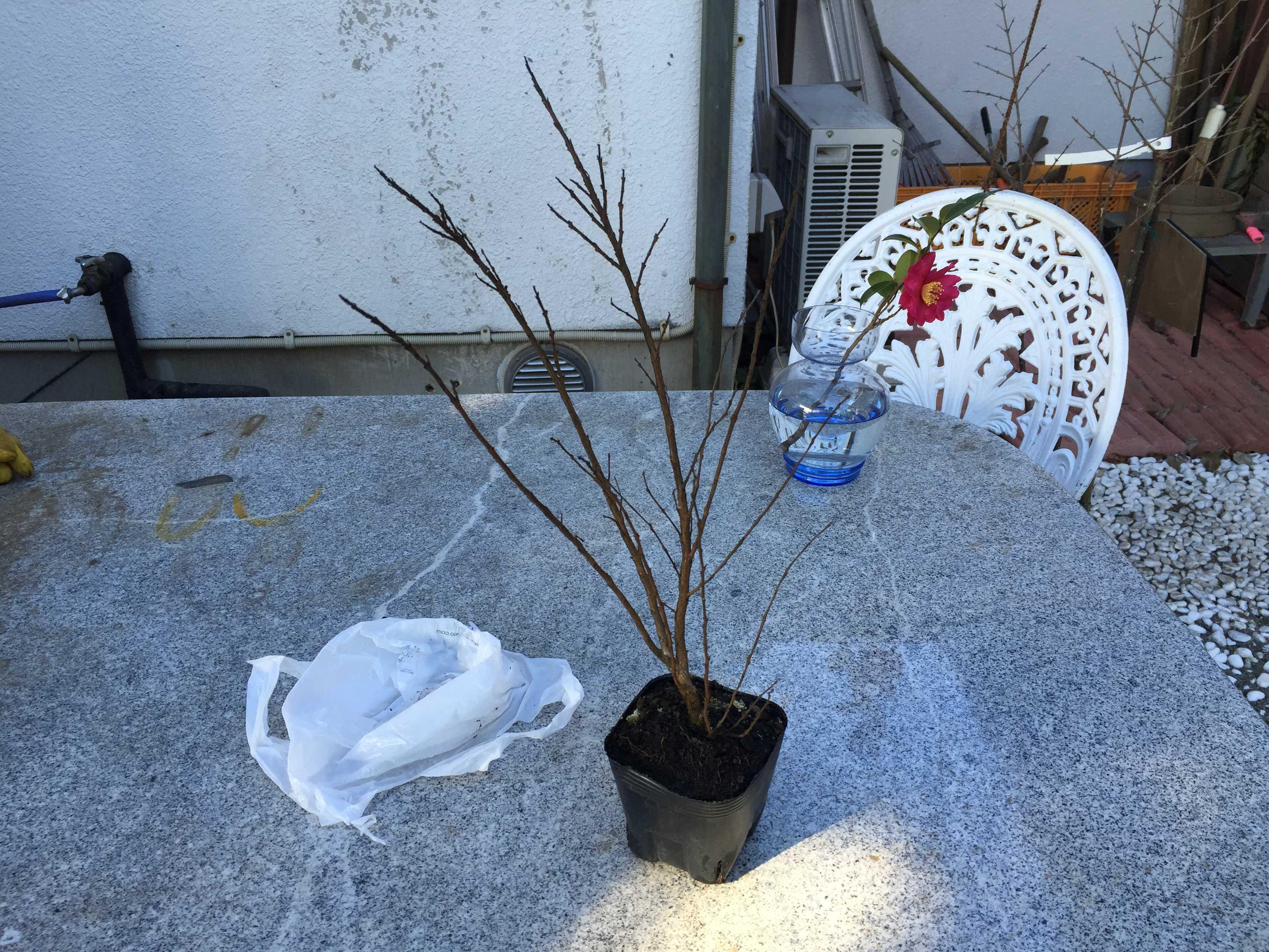 矮性サルスベリ「ポコモック」の苗木