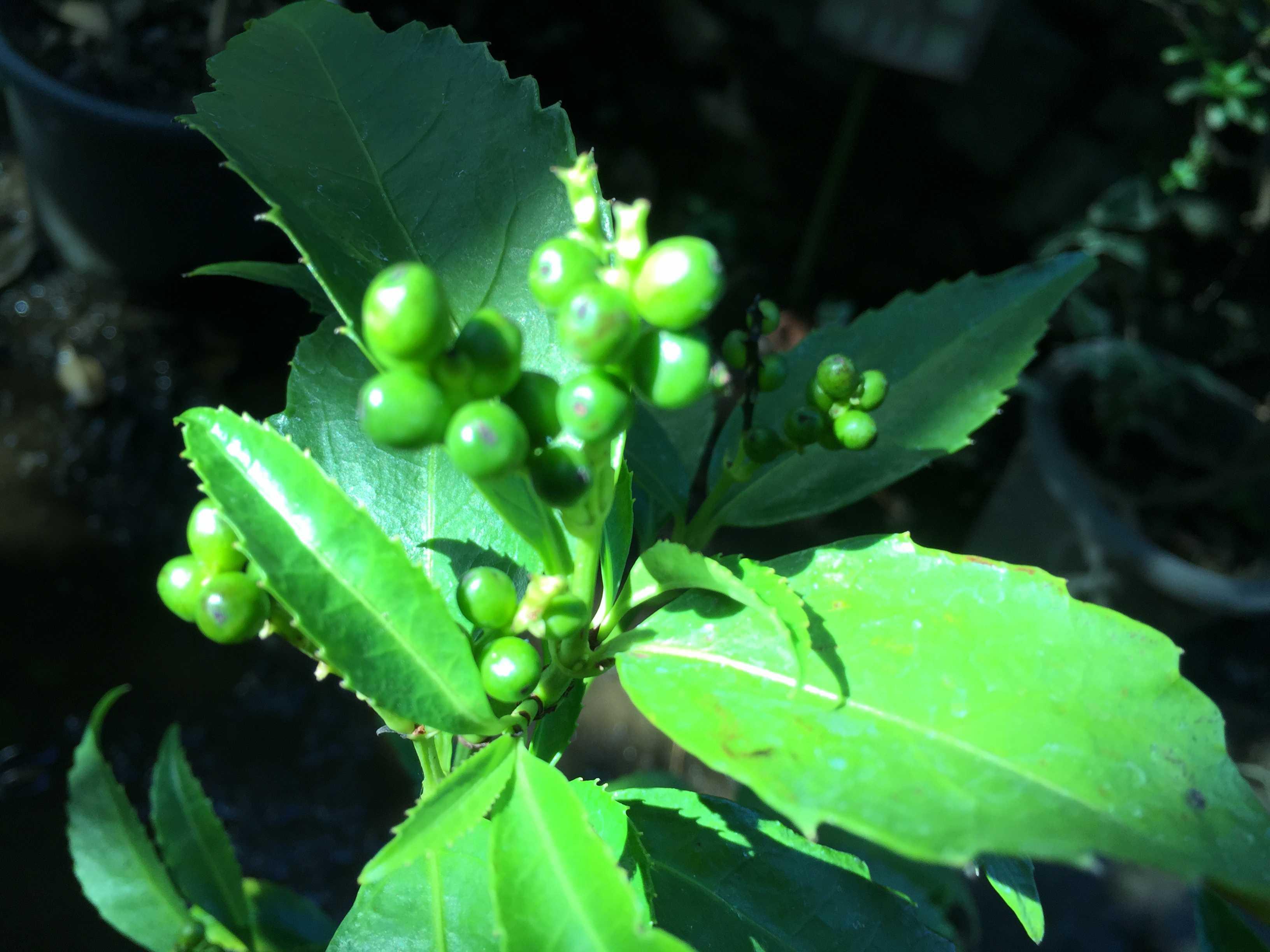 黄実の千両(キミノセンリョウ) の植え付け - 鮮烈な緑色の葉っぱ