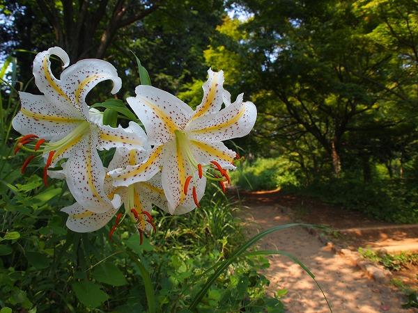 ヤマユリ(山百合/山ゆり)- 八王子市の市の花