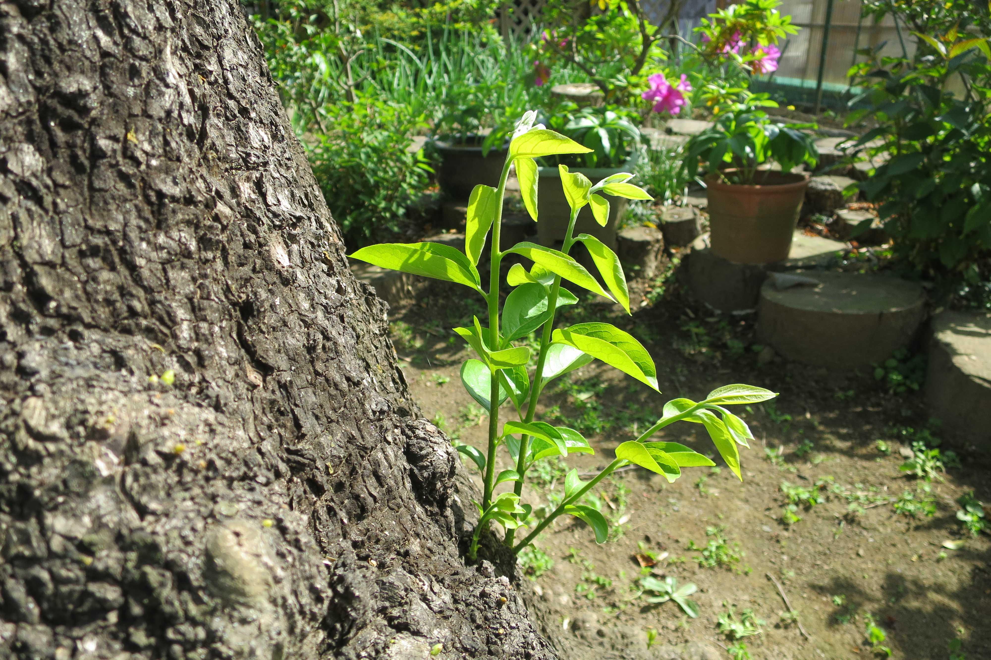 岡上の禅寺丸柿の枝