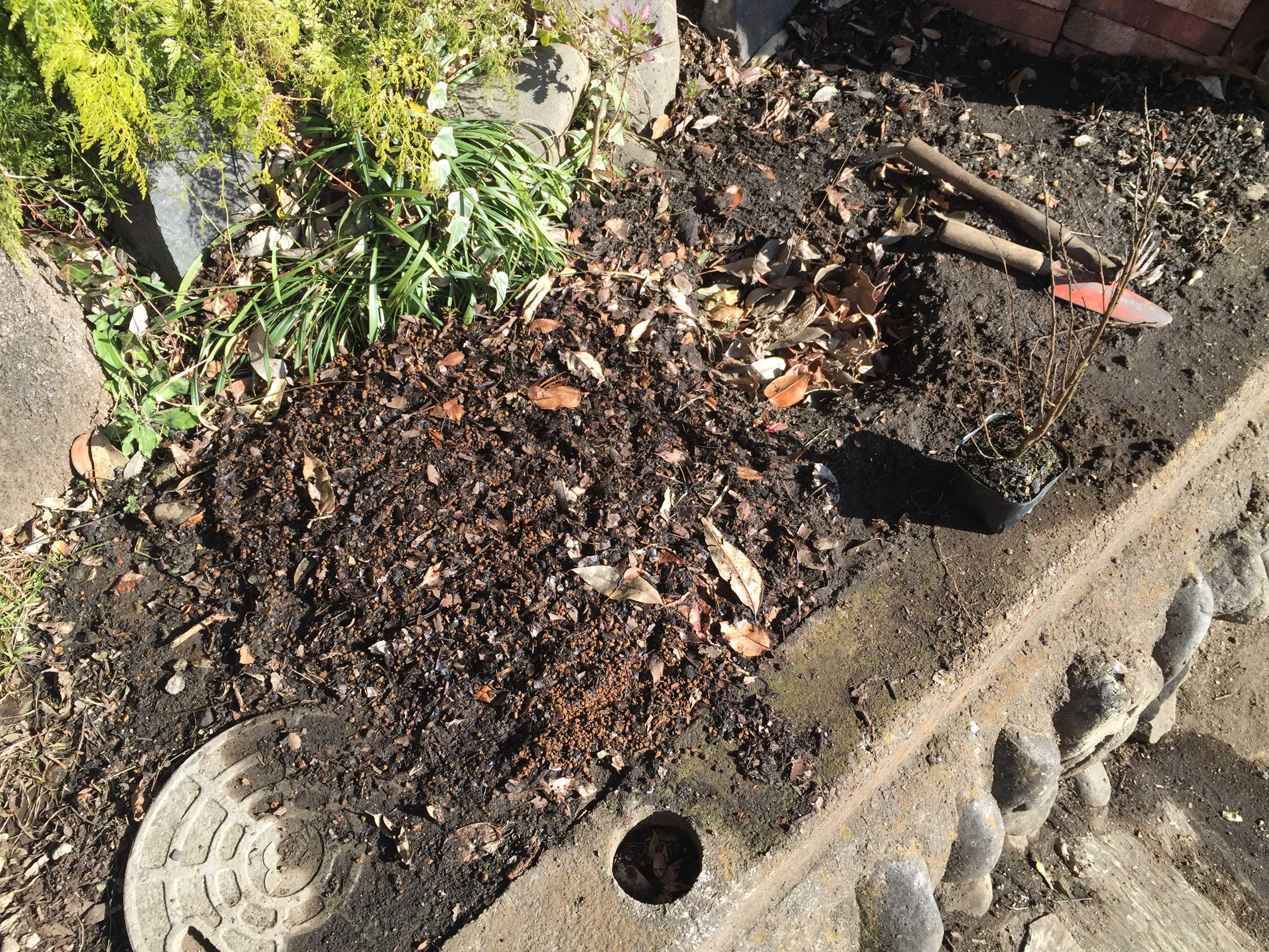 矮性サルスベリの植穴