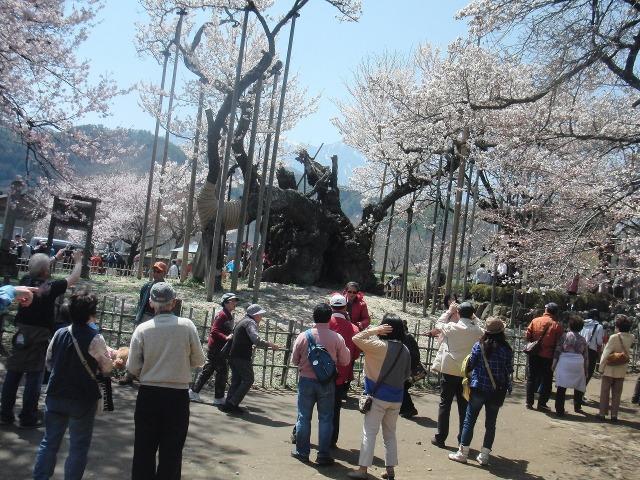 観光客に囲まれる山高神代桜