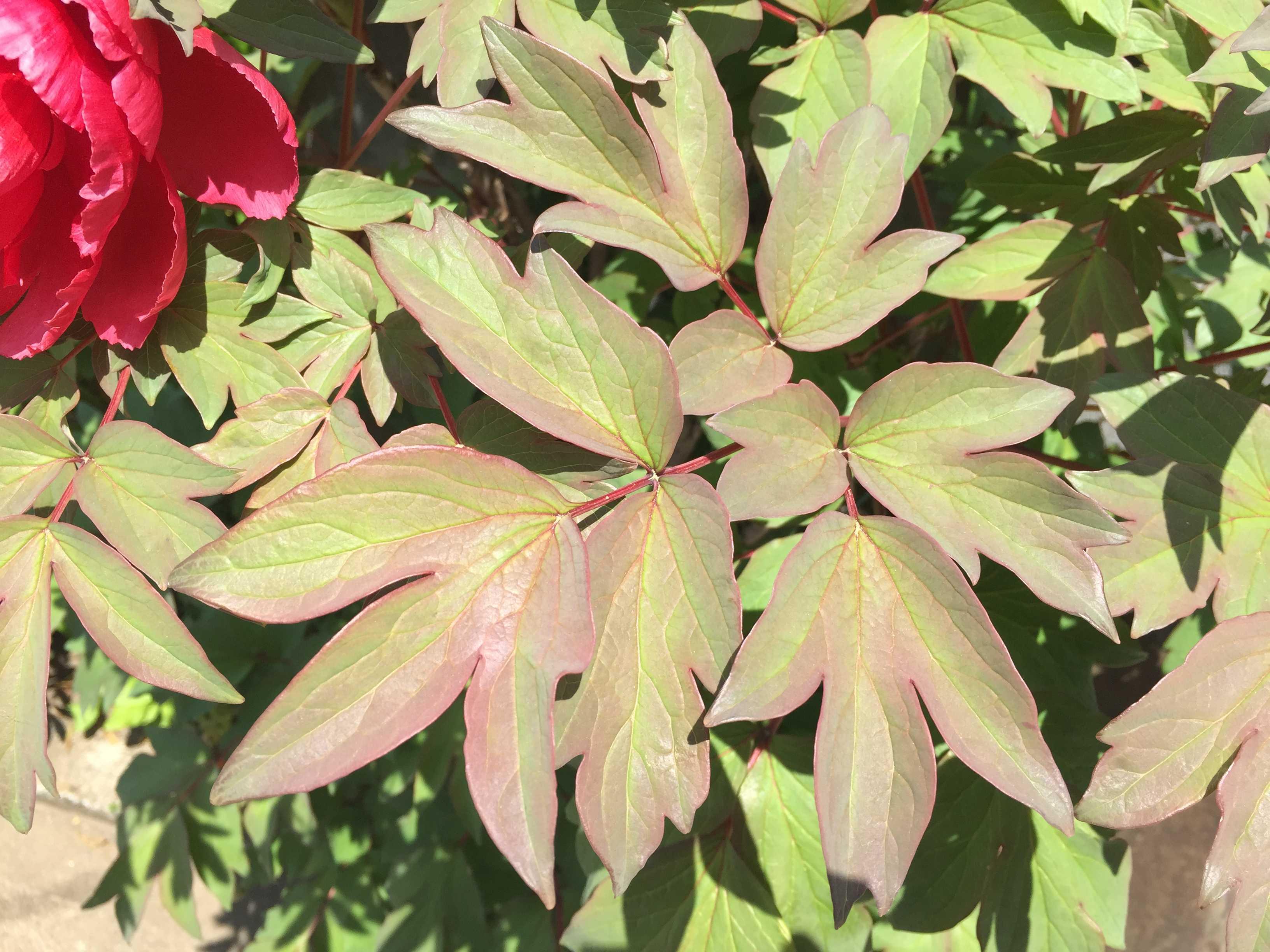 真っ赤な牡丹(ボタン)の葉っぱ