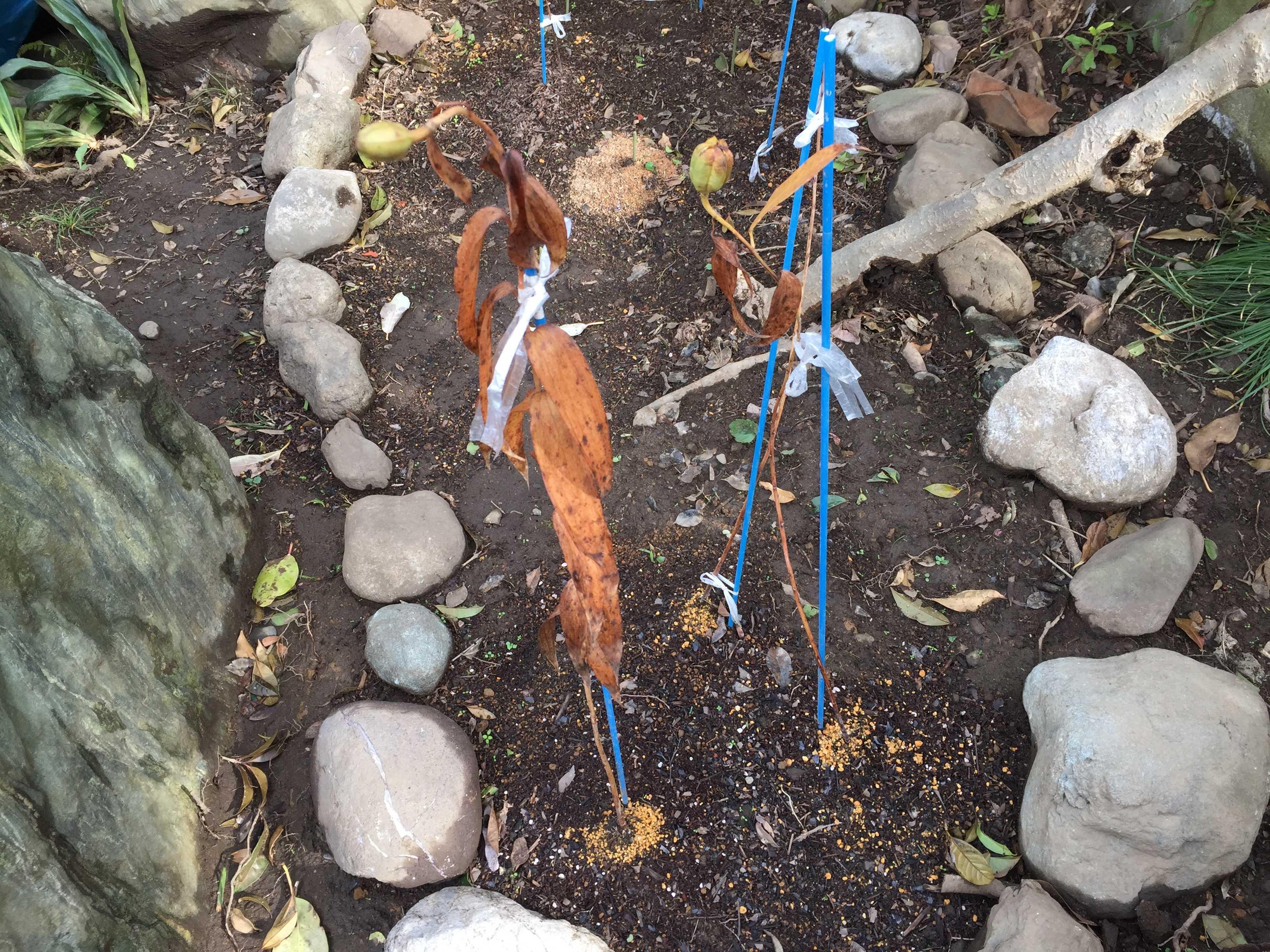 ヤマユリの種子繁殖/実生 - 採種されるのを待つ庭のヤマユリ