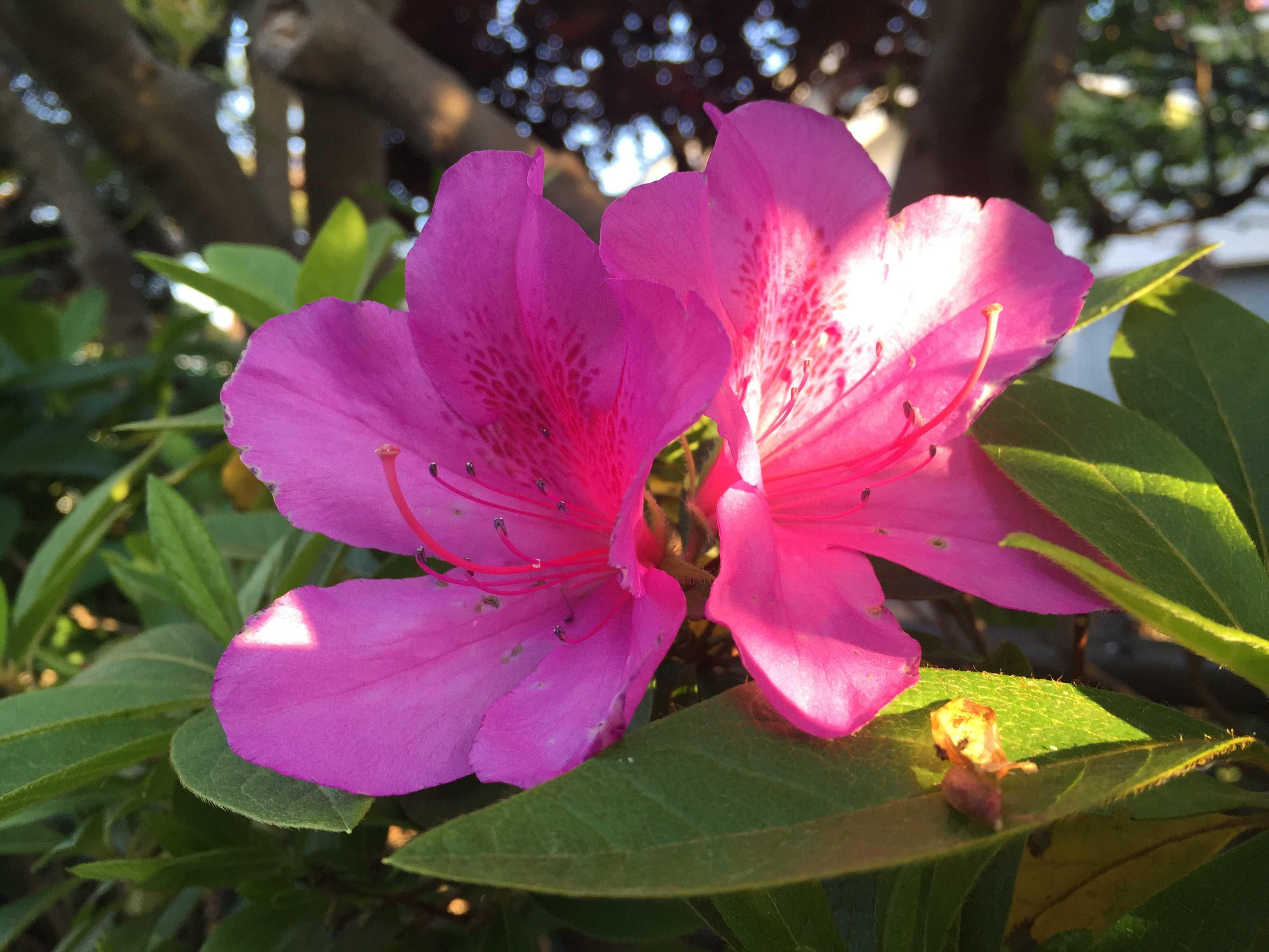 朝日が射すピンク色のツツジ