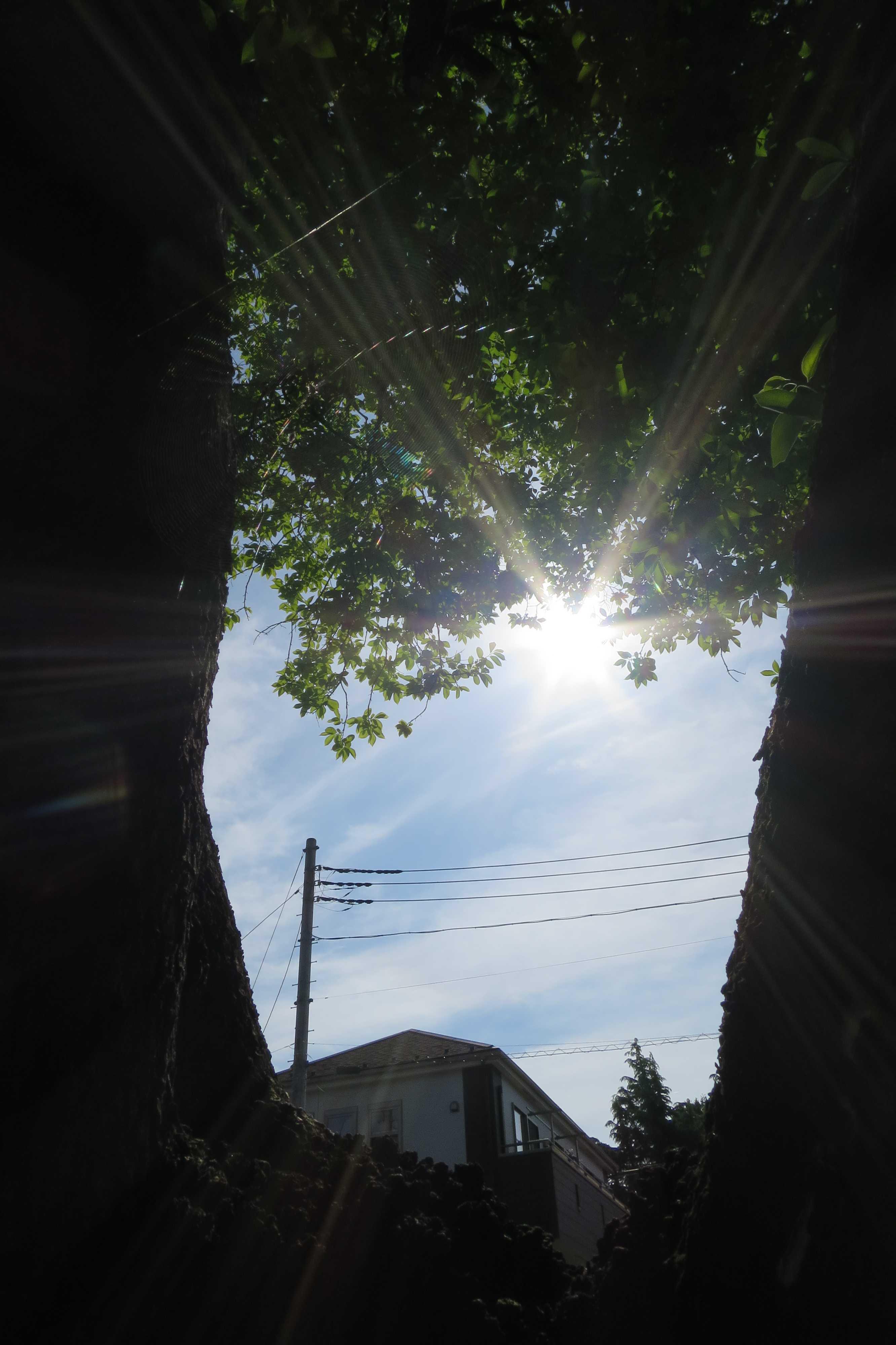 日の光を浴びる岡上の禅寺丸柿