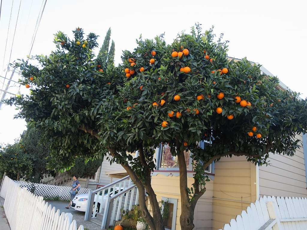 サンノゼ - オレンジの木