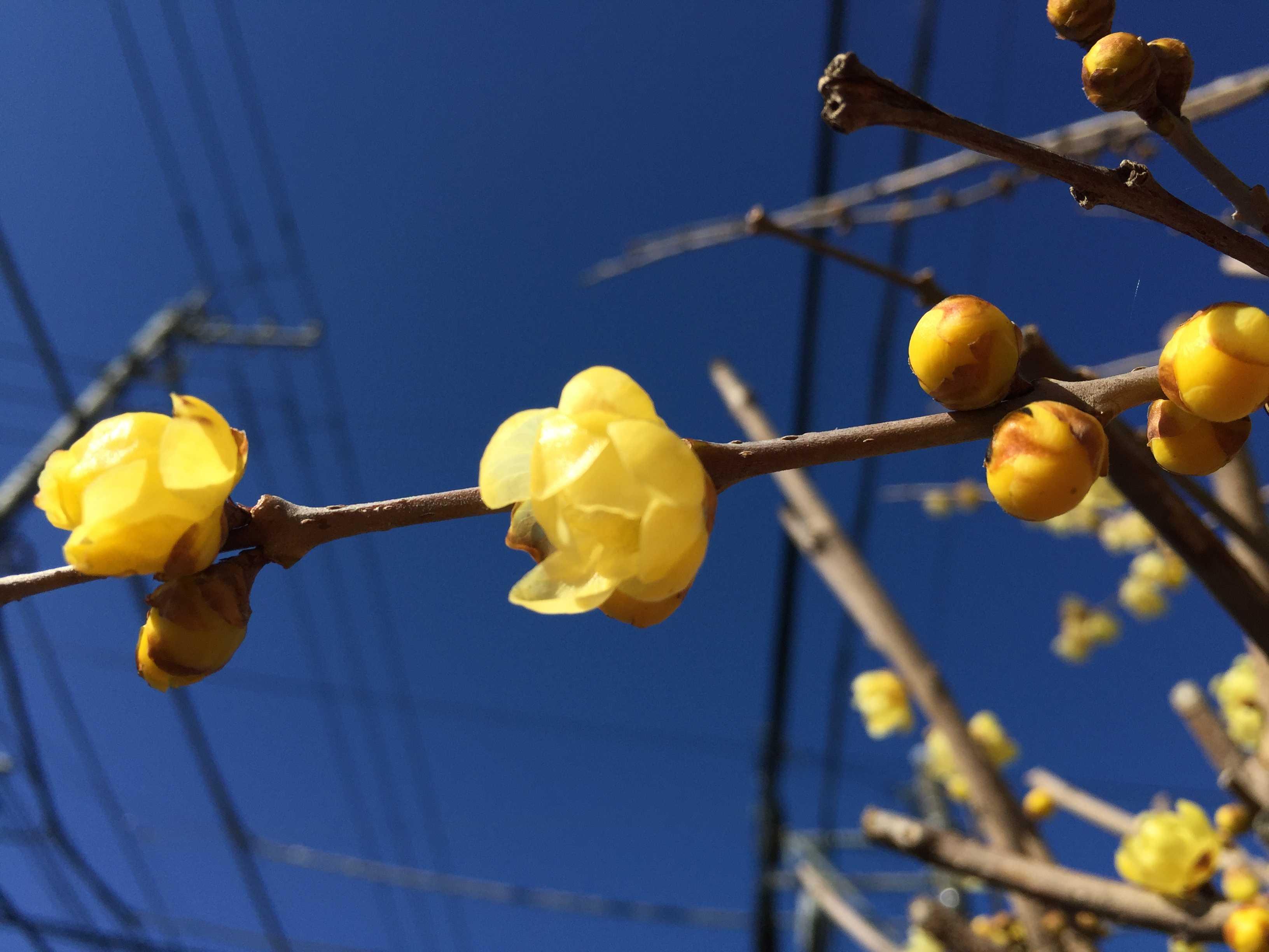 黄色い可憐な花 ロウバイ