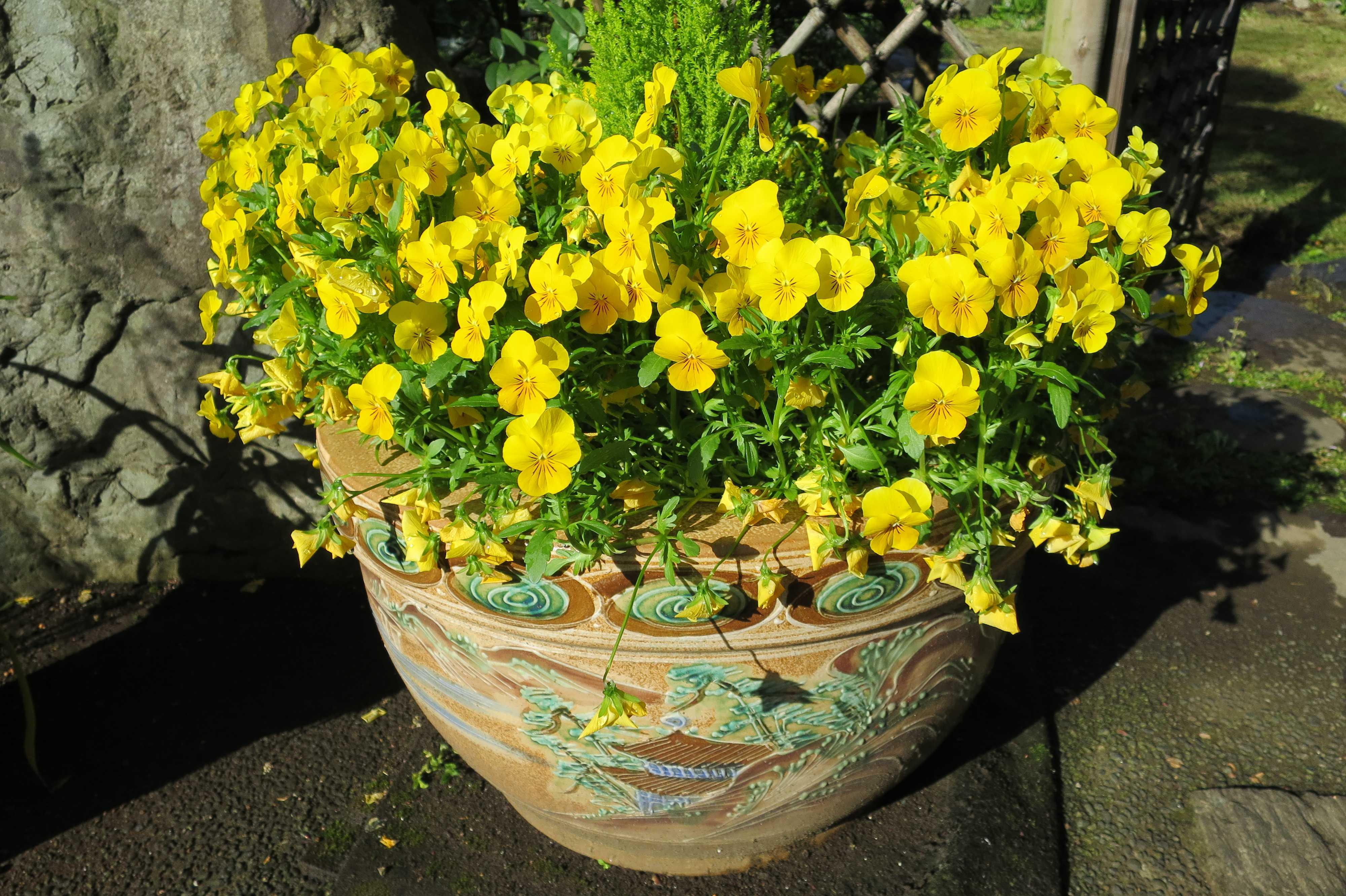 朝日を浴びて黄色く輝いている花