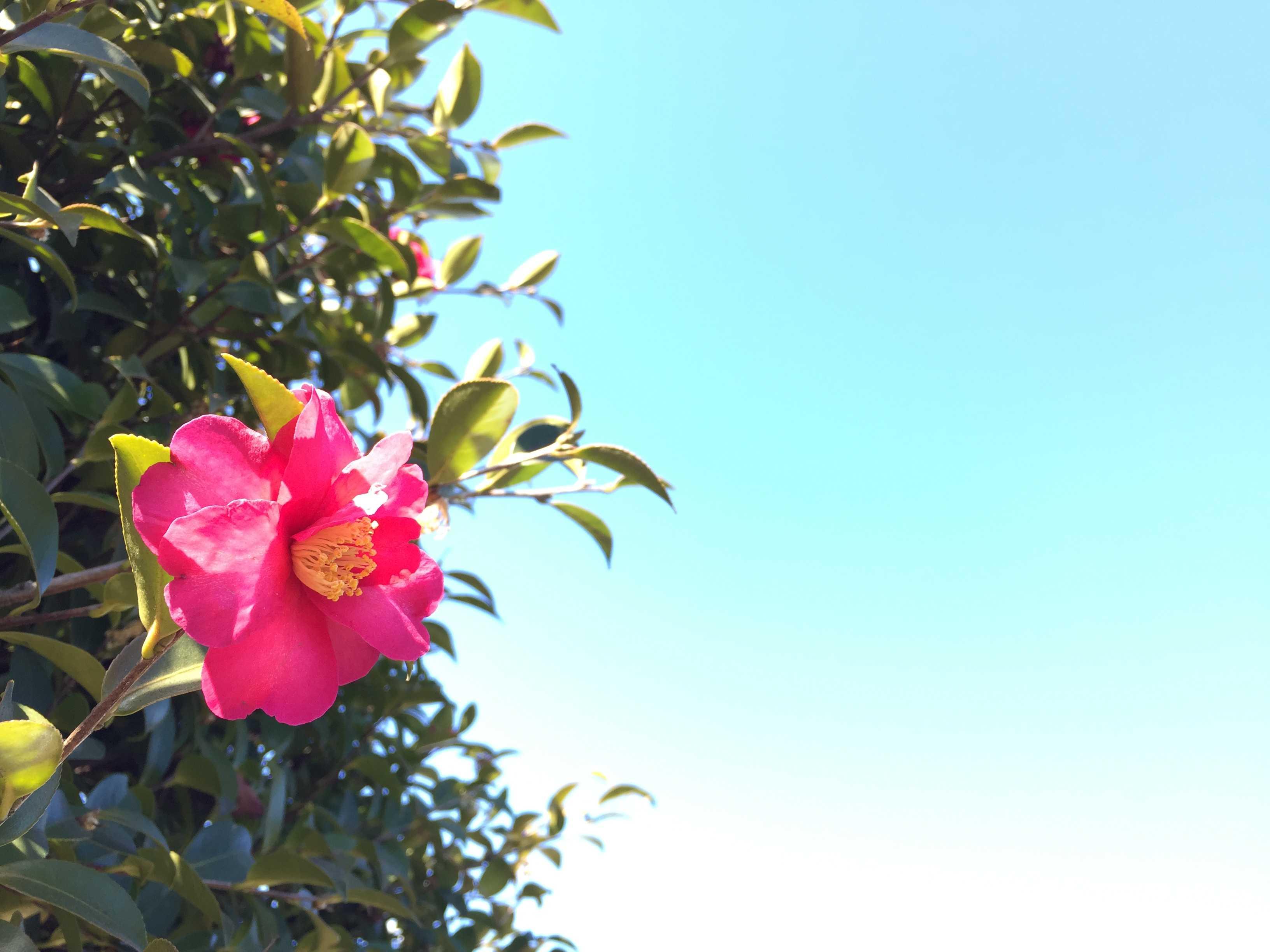 紅い山茶花(サザンカ)と冬の青く晴れた空