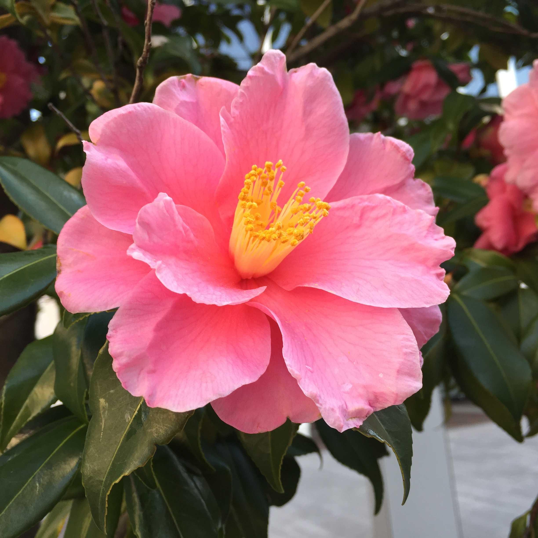 ハルサザンカの笑顔 - 濃桃色の八重咲き大輪