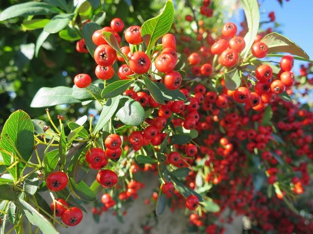 ピラカンサスの赤い実