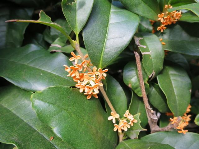 光輝くキンモクセイの花