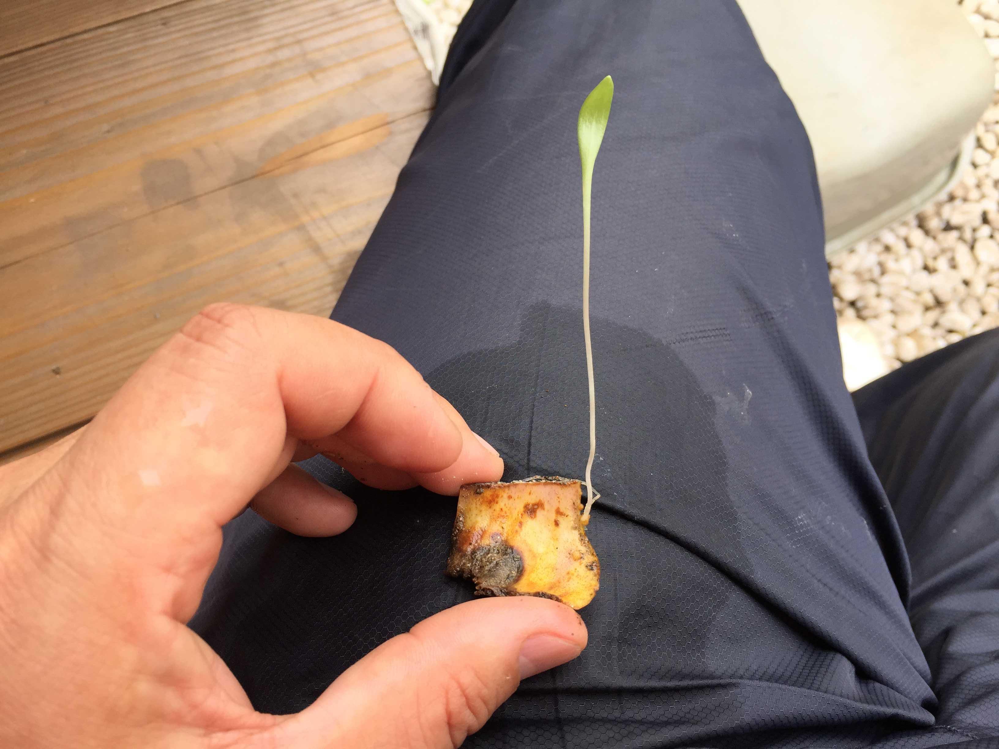 ヤマユリの鱗片