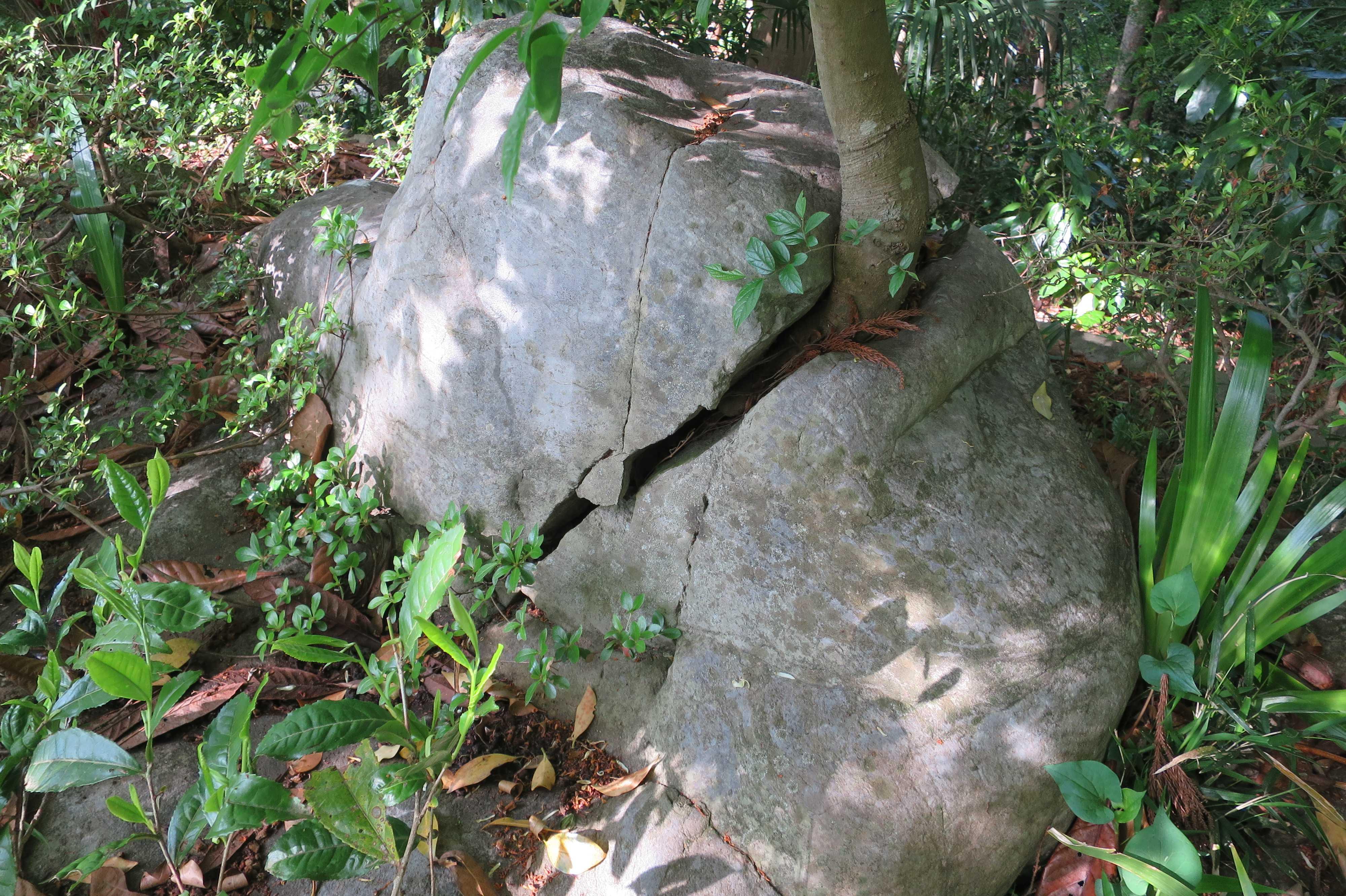 石を割って生えている木 - 王禅寺