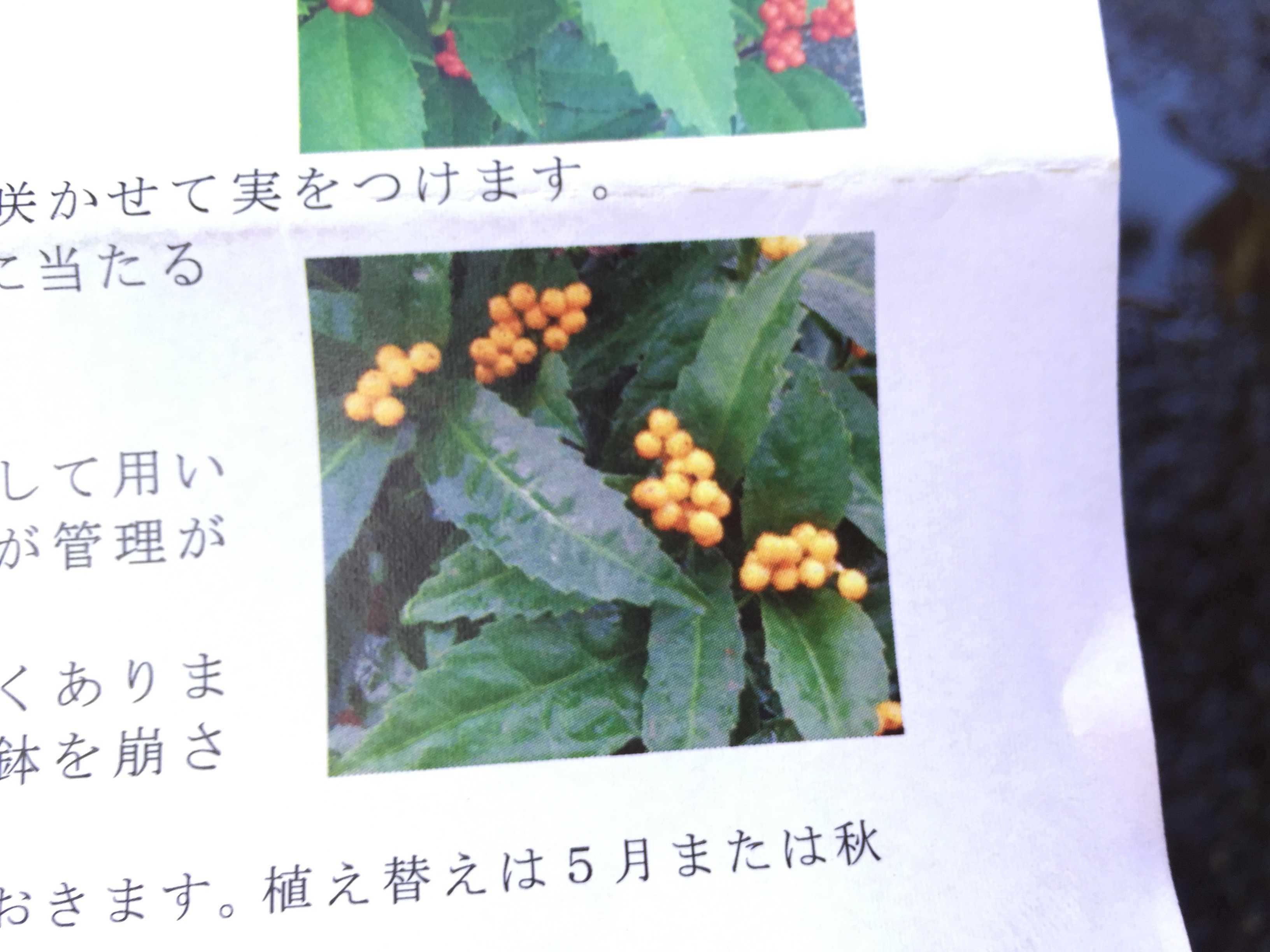 黄実の千両(キミノセンリョウ) の植え付け - 可愛らしい黄色い実