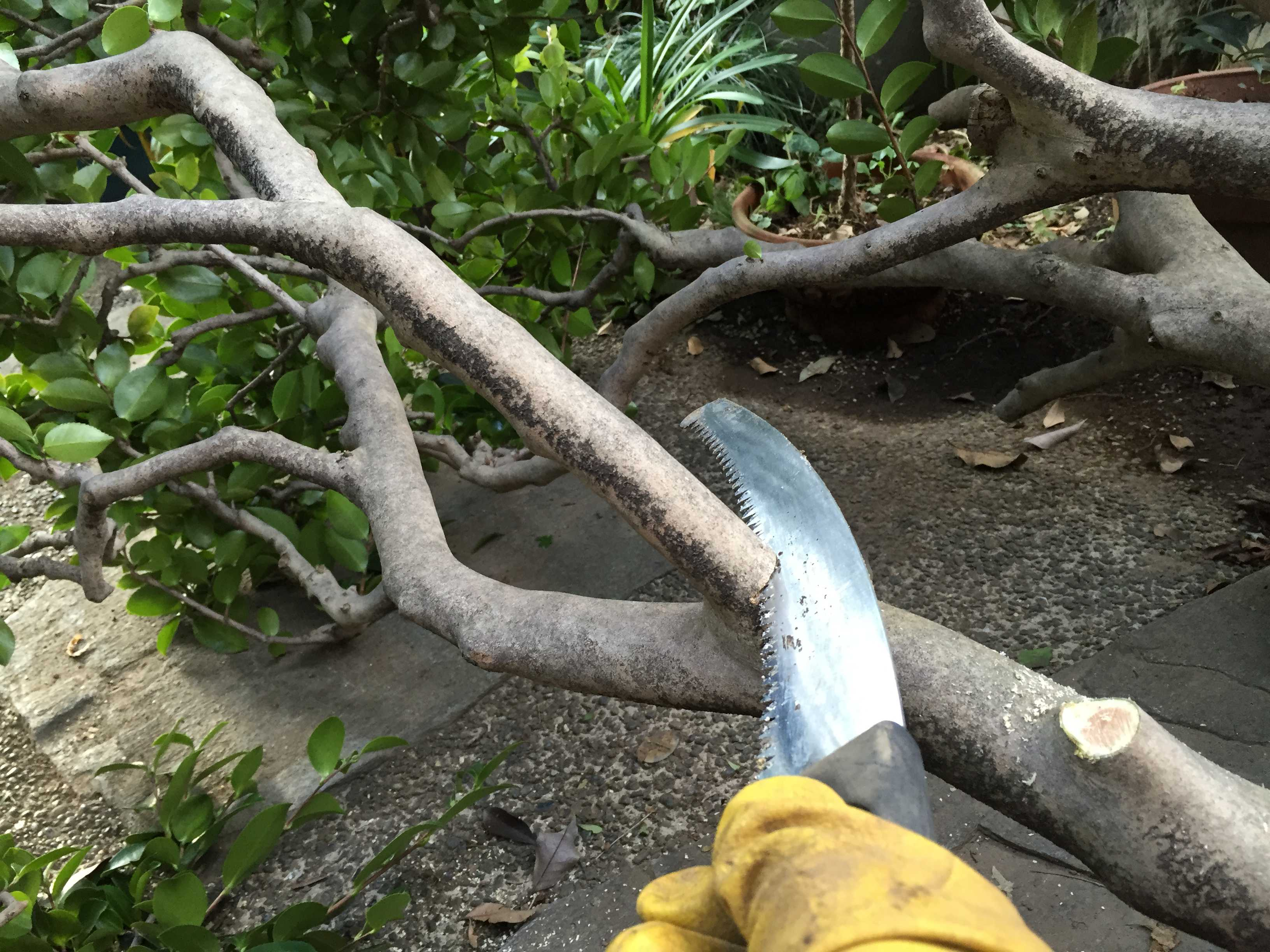 椿の倒木の枝払い