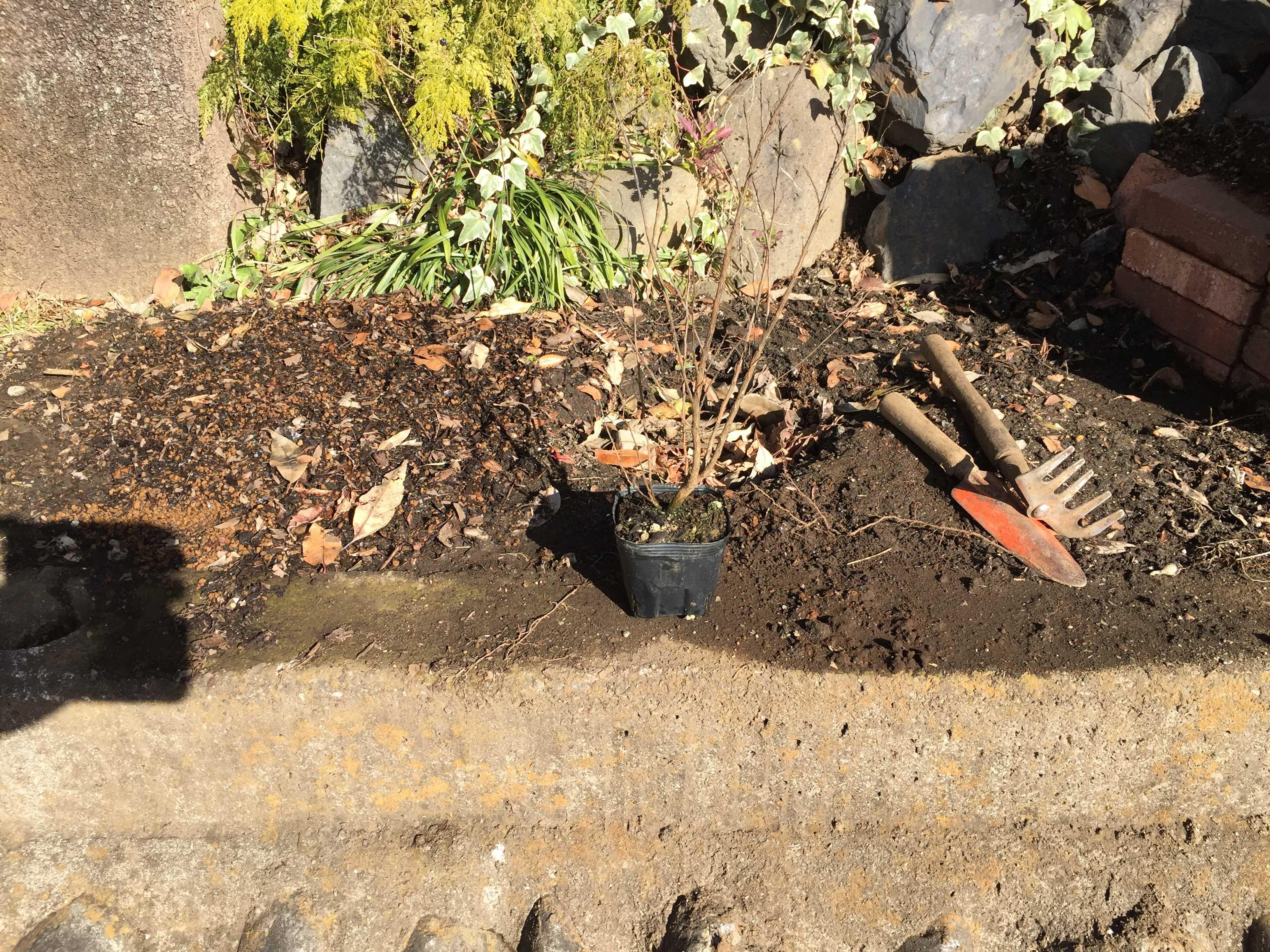 矮性サルスベリの植え穴