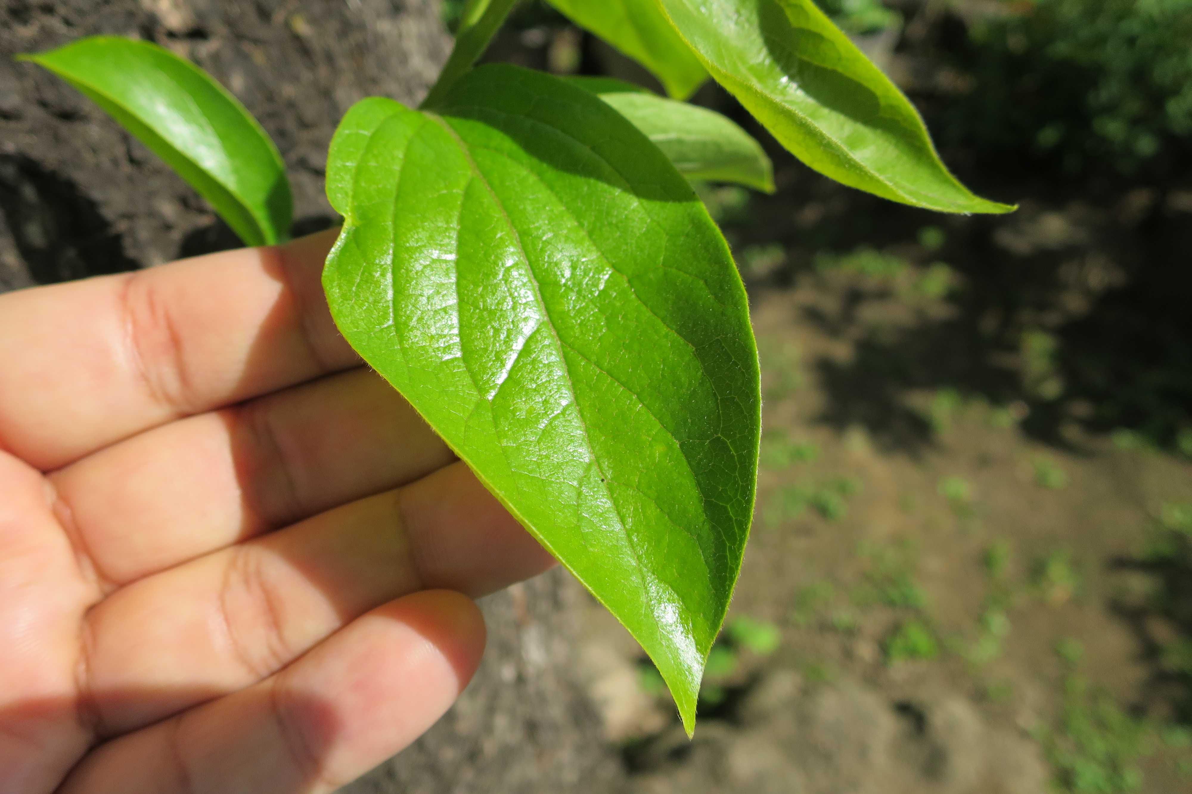 岡上の禅寺丸柿の葉っぱ