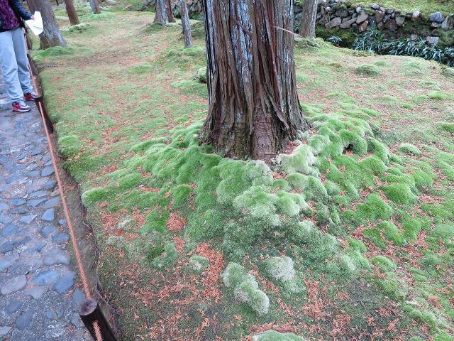 苔寺(西芳寺)の木の根元の苔