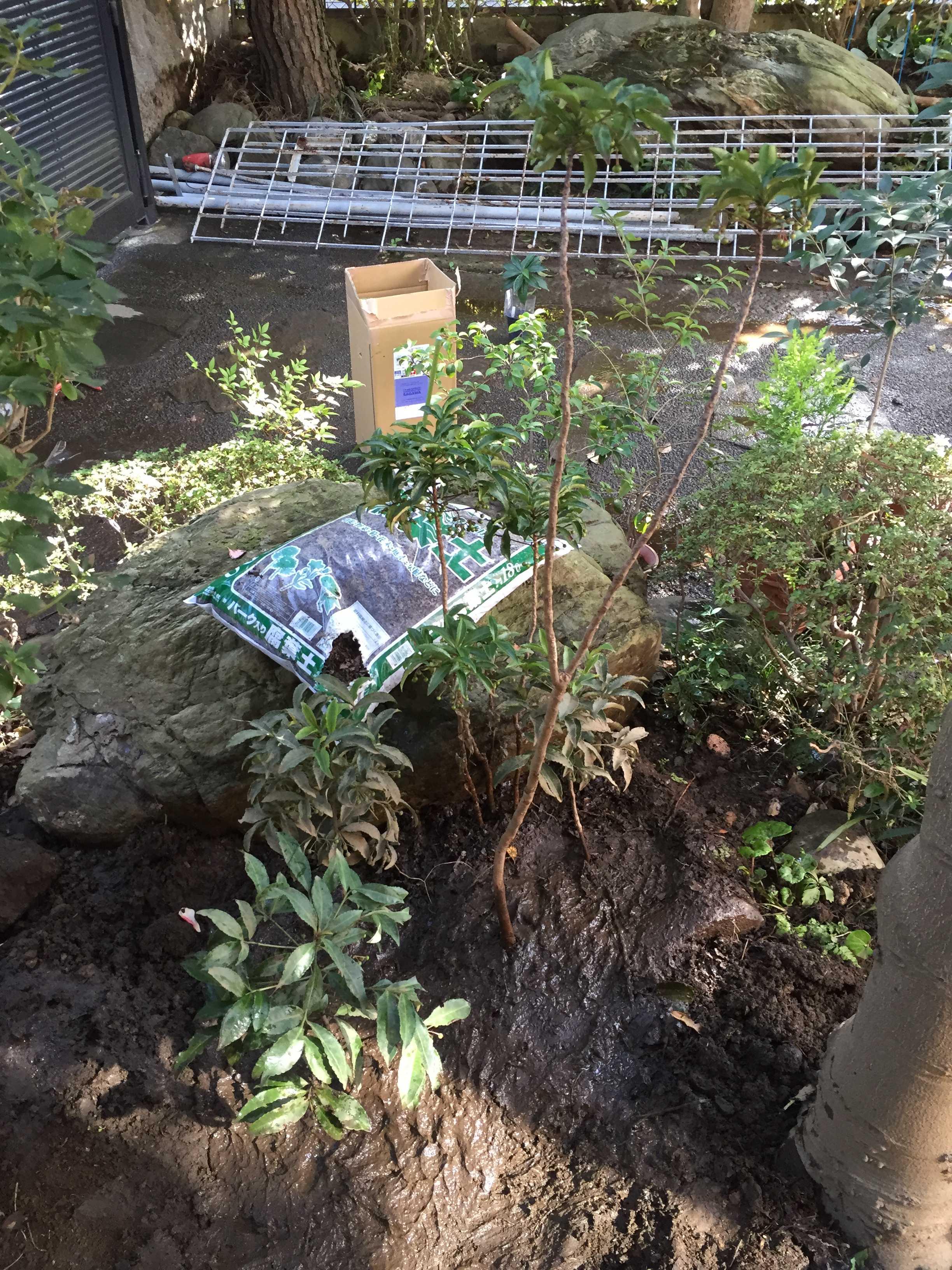 爪斑万両(マンリョウ)の植え付ける場所
