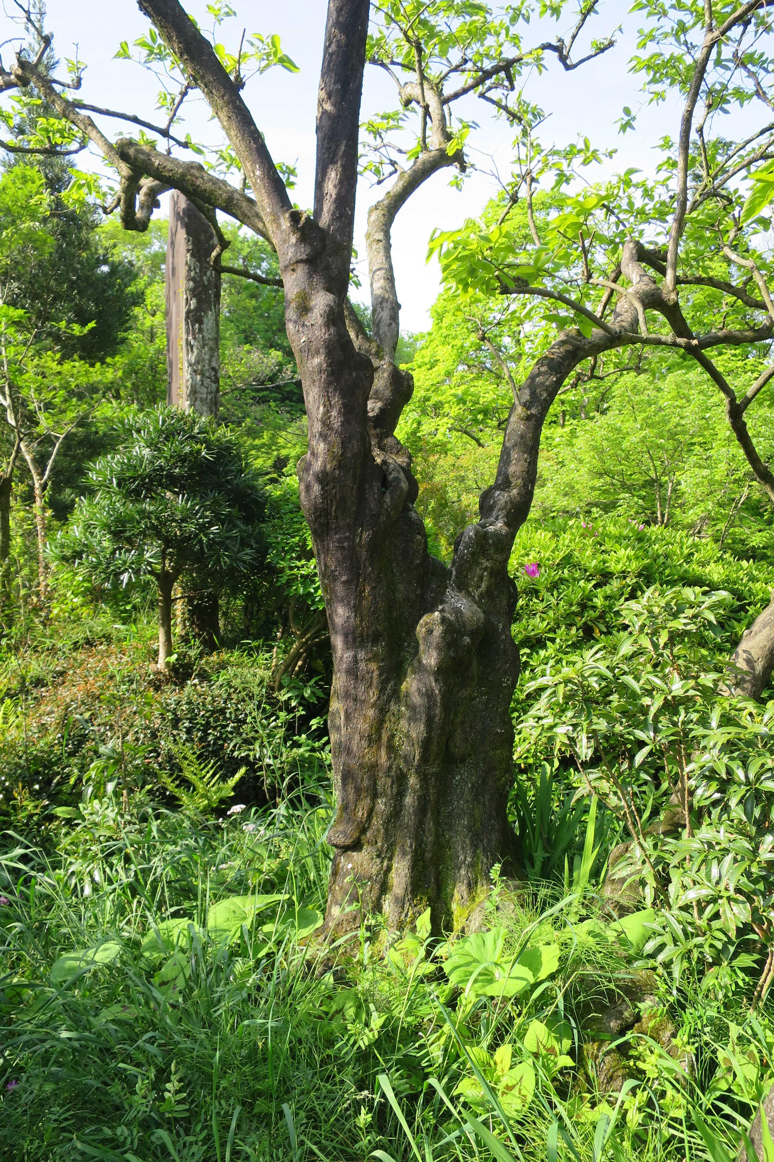 禅寺丸柿の原木の幹