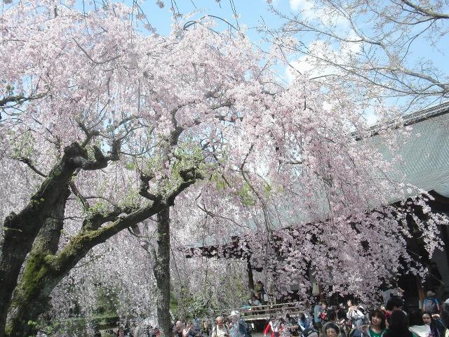 天龍寺・多宝殿前の満開の桜