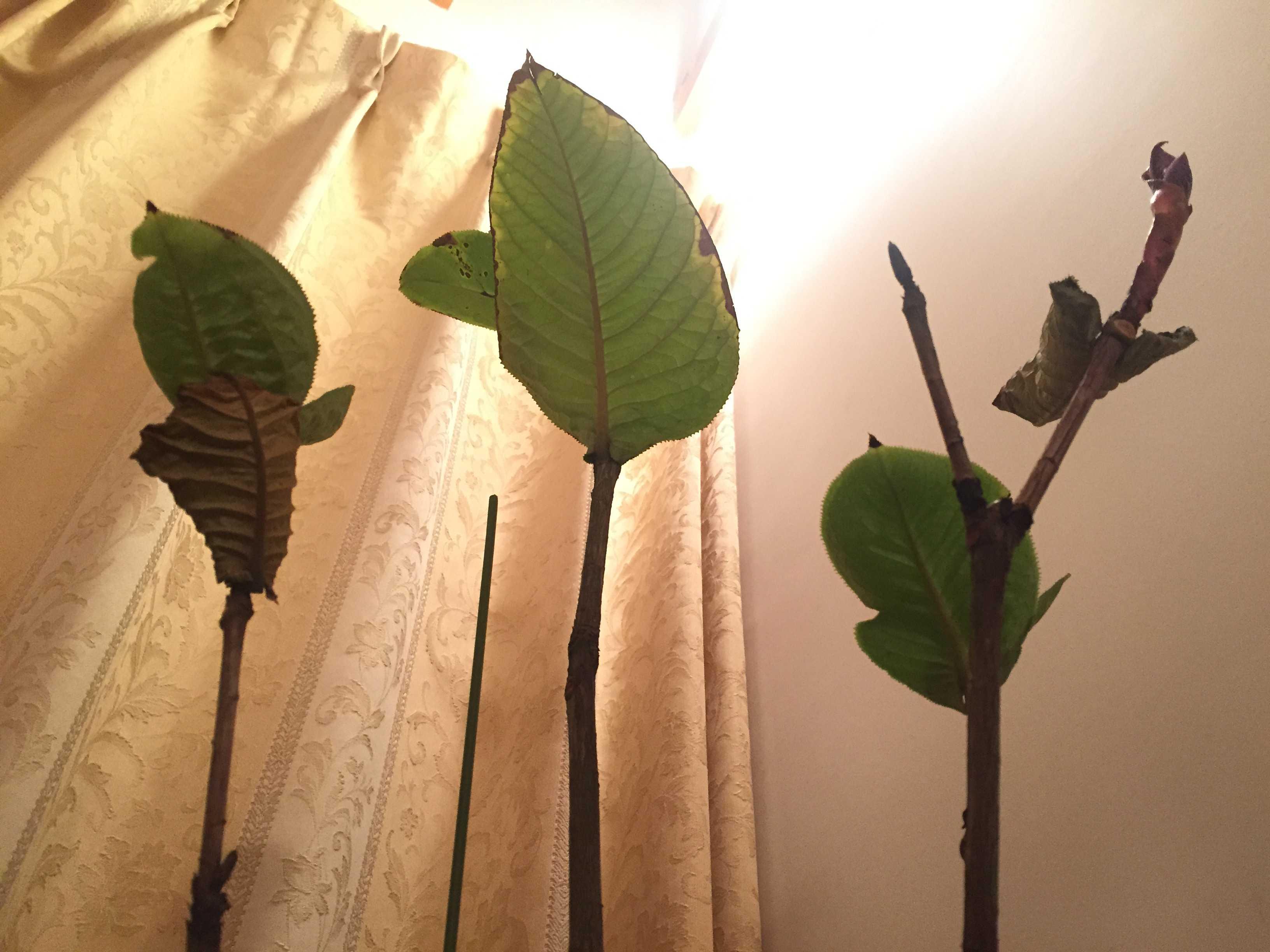 原種椿「ムラウチィ」の葉っぱ